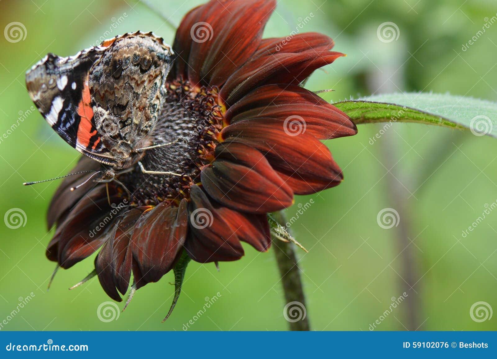 在红色向日葵的红蛱蝶蝴蝶