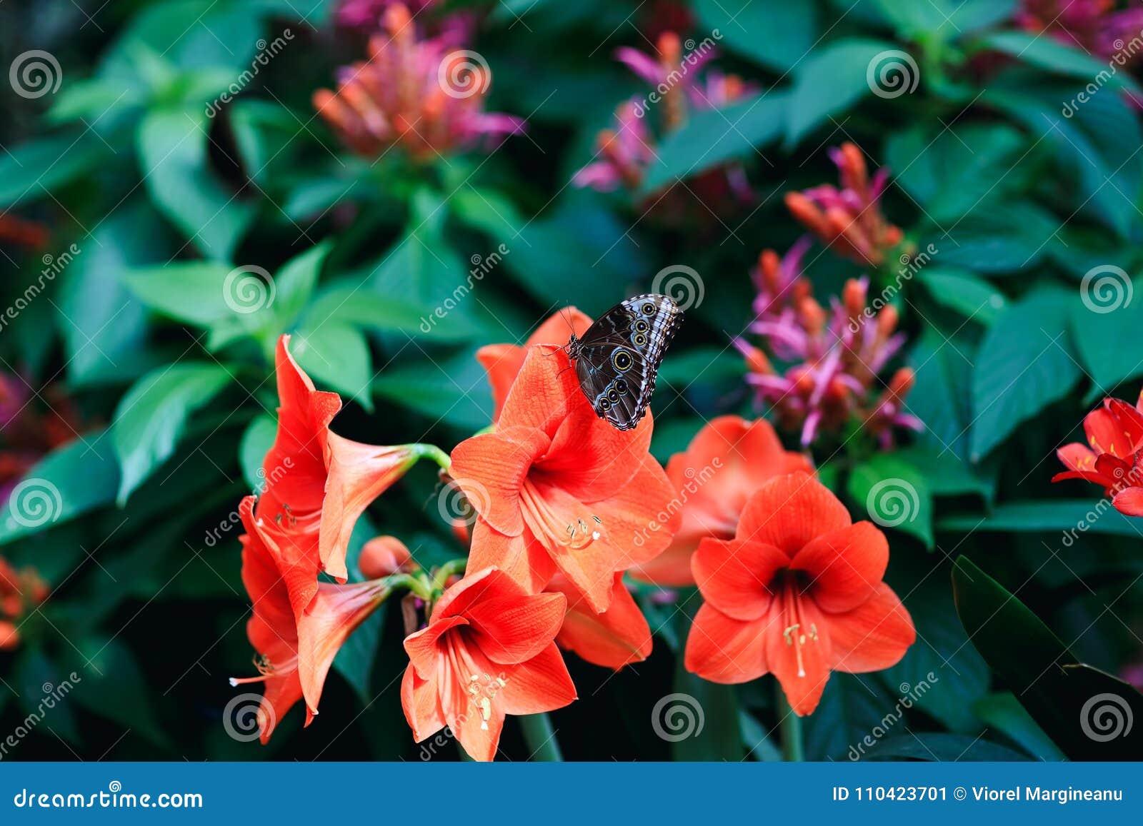 在红色百合瓣的真正的蝴蝶在春天庭院里