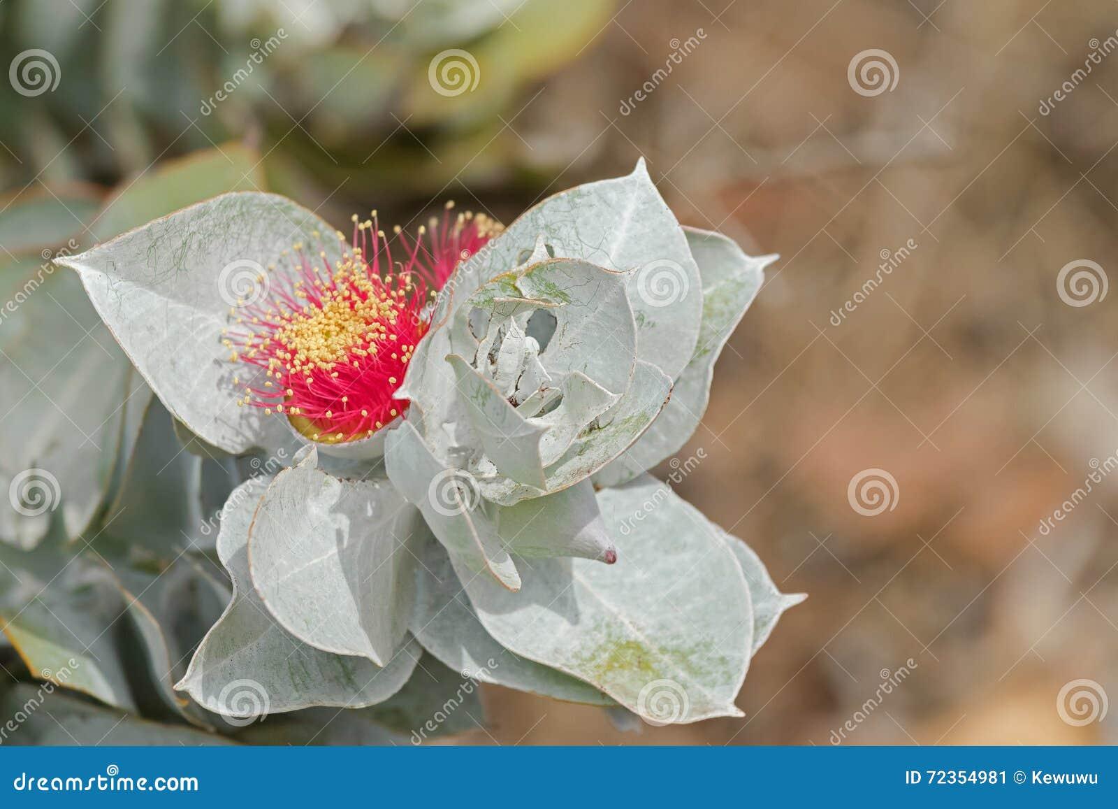 在红色的Mottlecah (玉树macrocarpa)花与银灰色