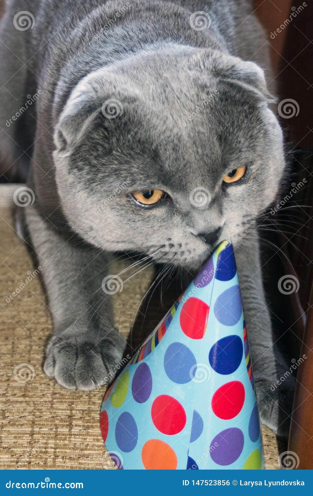 在纸帽子的滑稽的逗人喜爱的猫 生日宠物 苏格兰折叠猫
