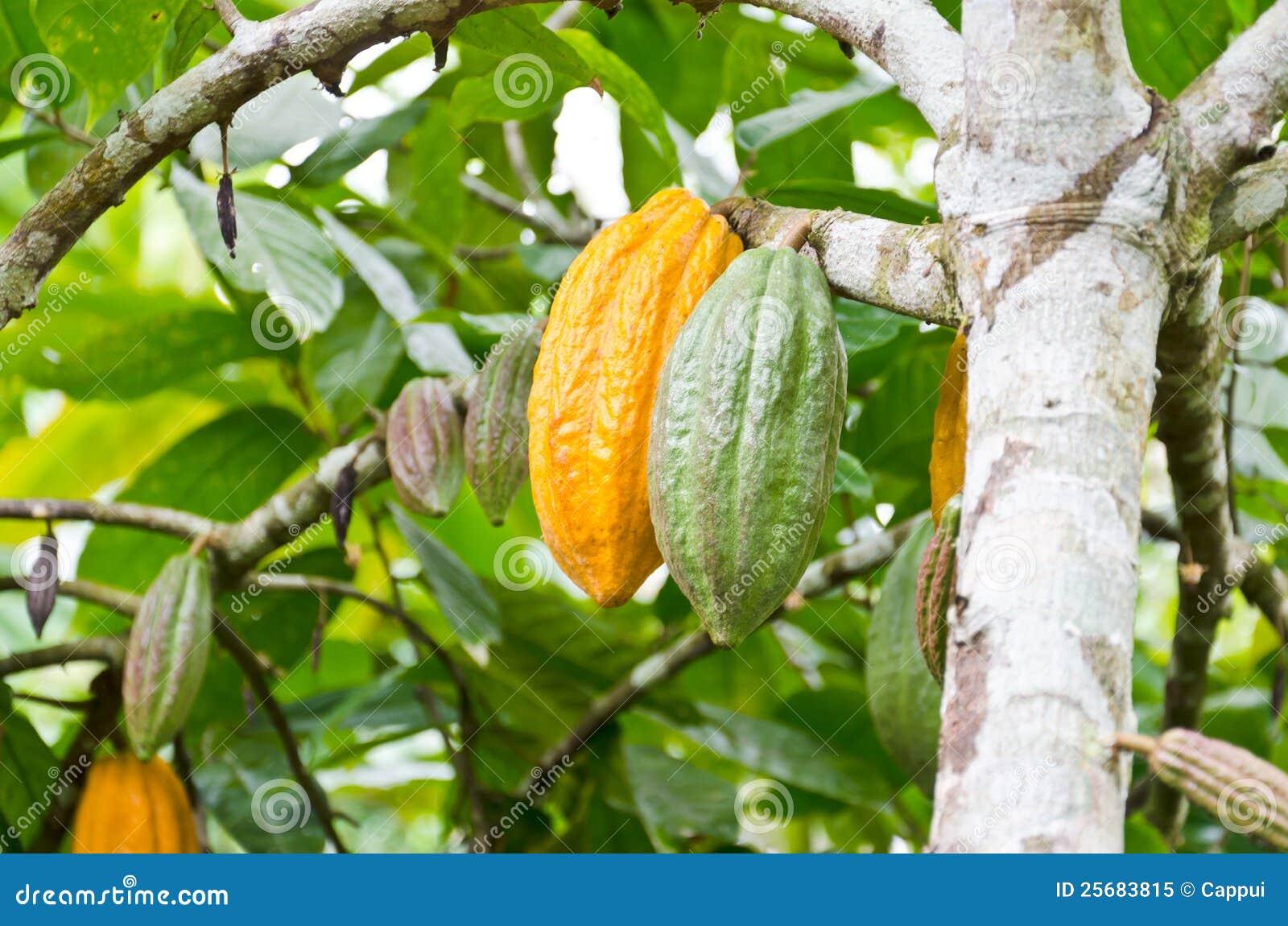 在结构树的可可粉果子