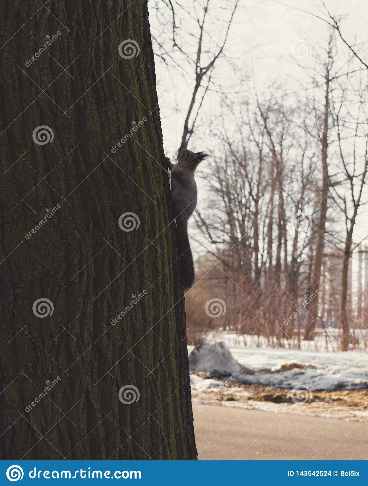 在结构树的灰鼠