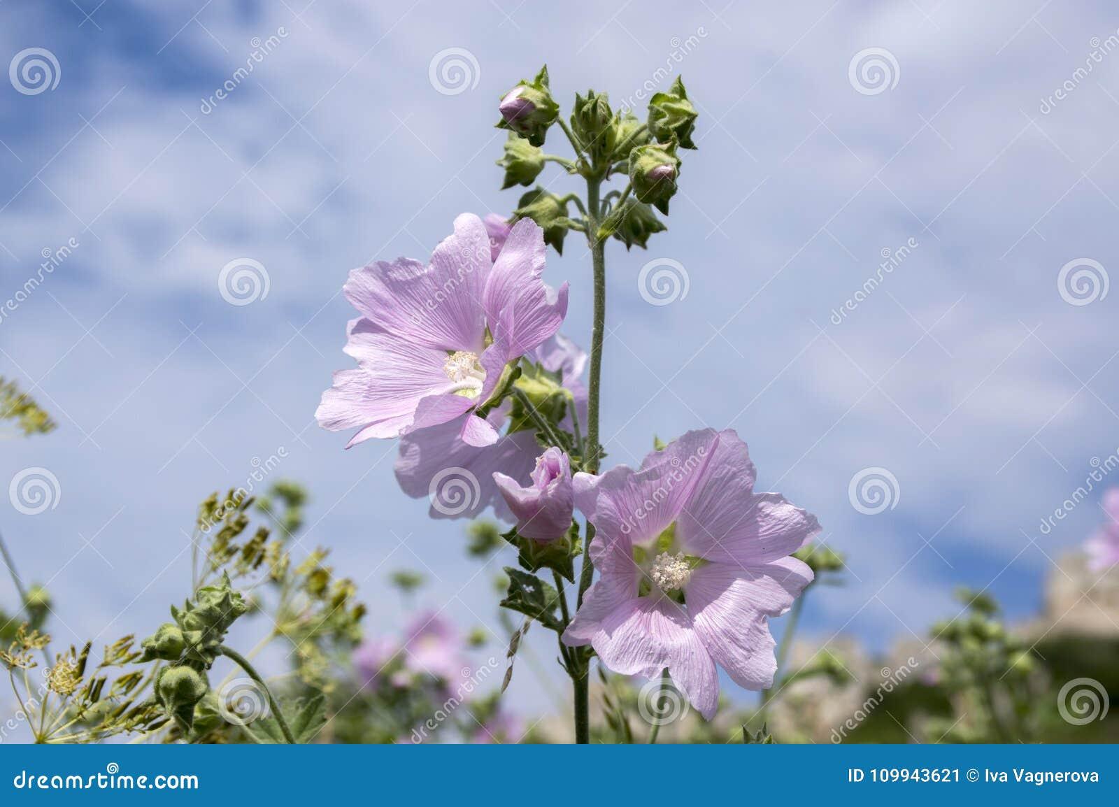 在绽放,在词根的桃红色花的锦葵属alcea与叶子