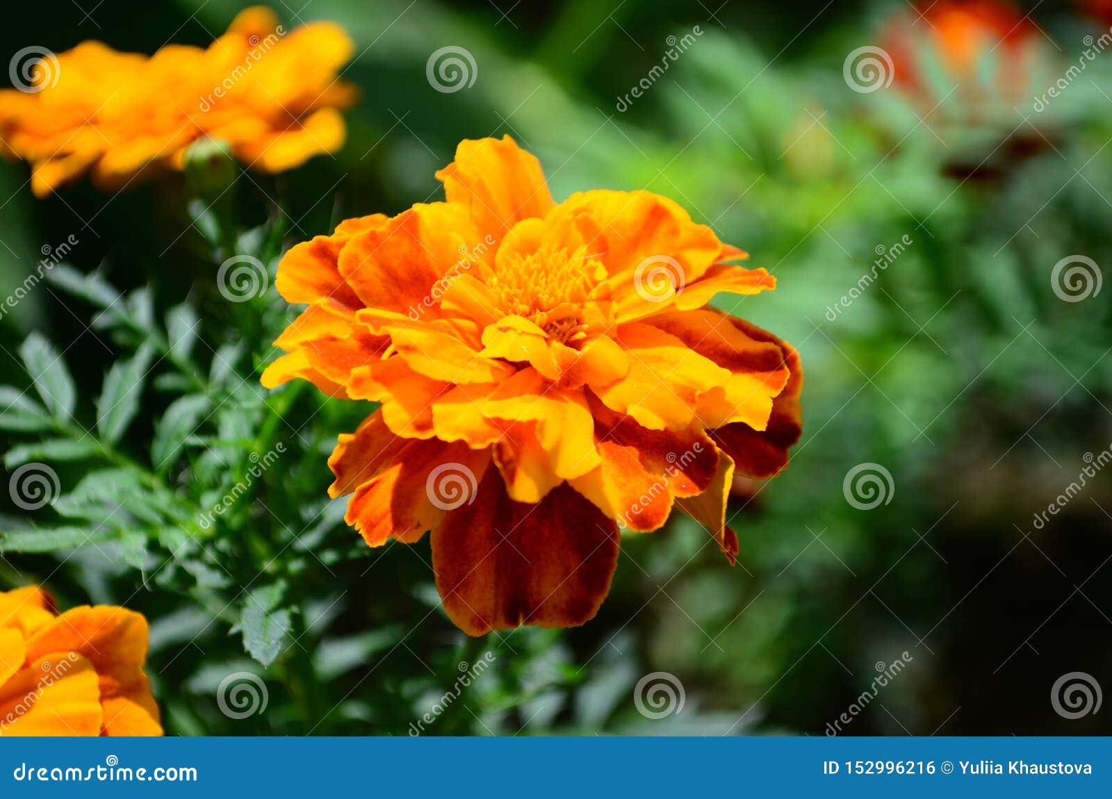 在绽放,橙黄色花的万寿菊,绿色叶子