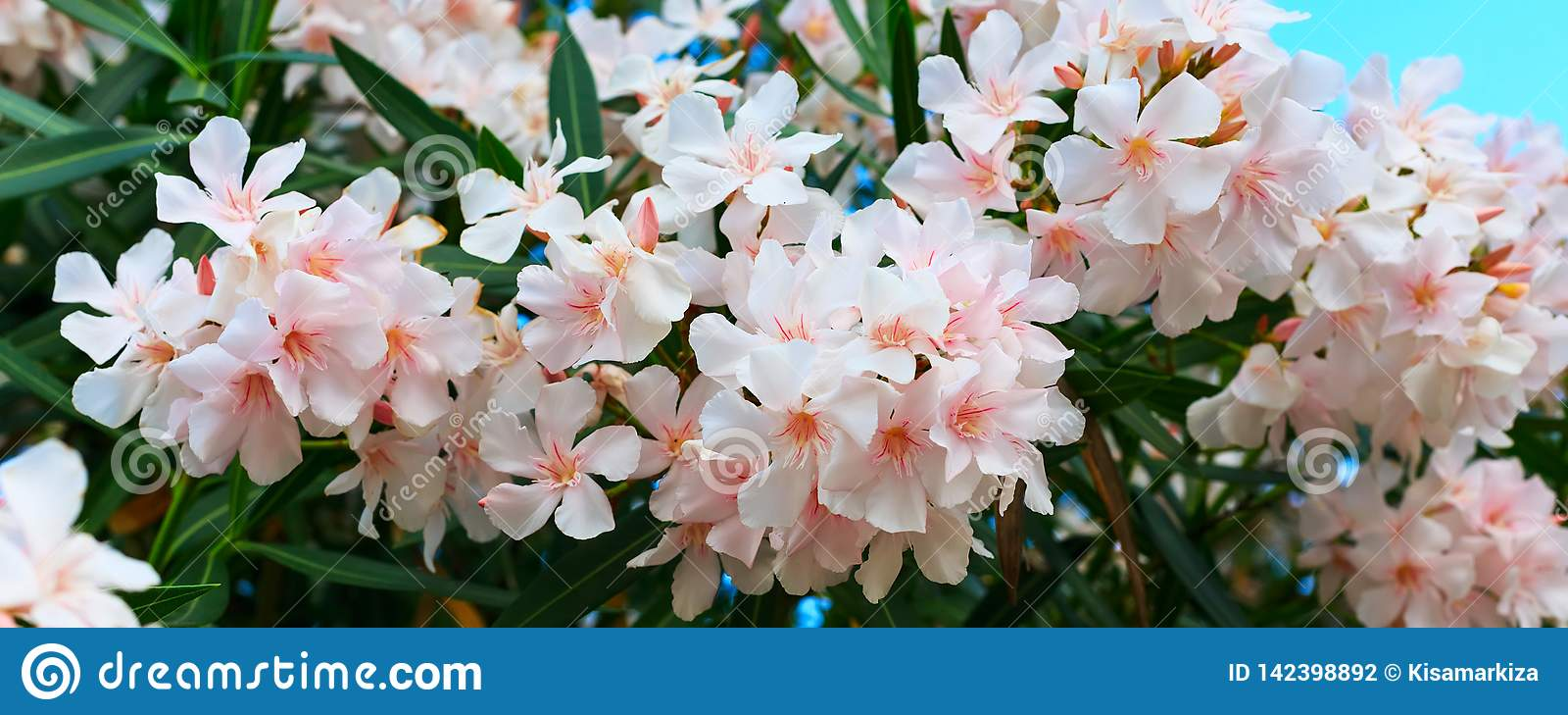 在绽放,绿色叶子的白色夹竹桃