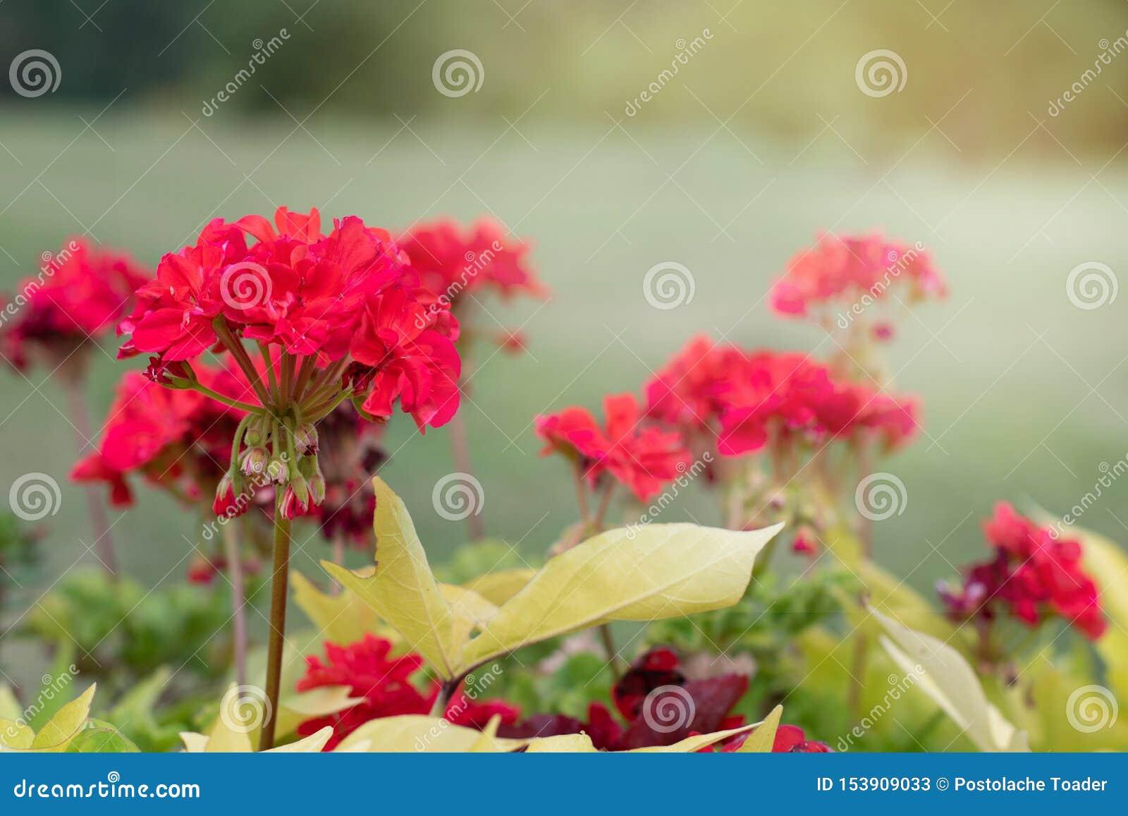 在绿色公园背景的红色野花  红色花在绿色叶子被弄脏的背景关闭在的一好日子