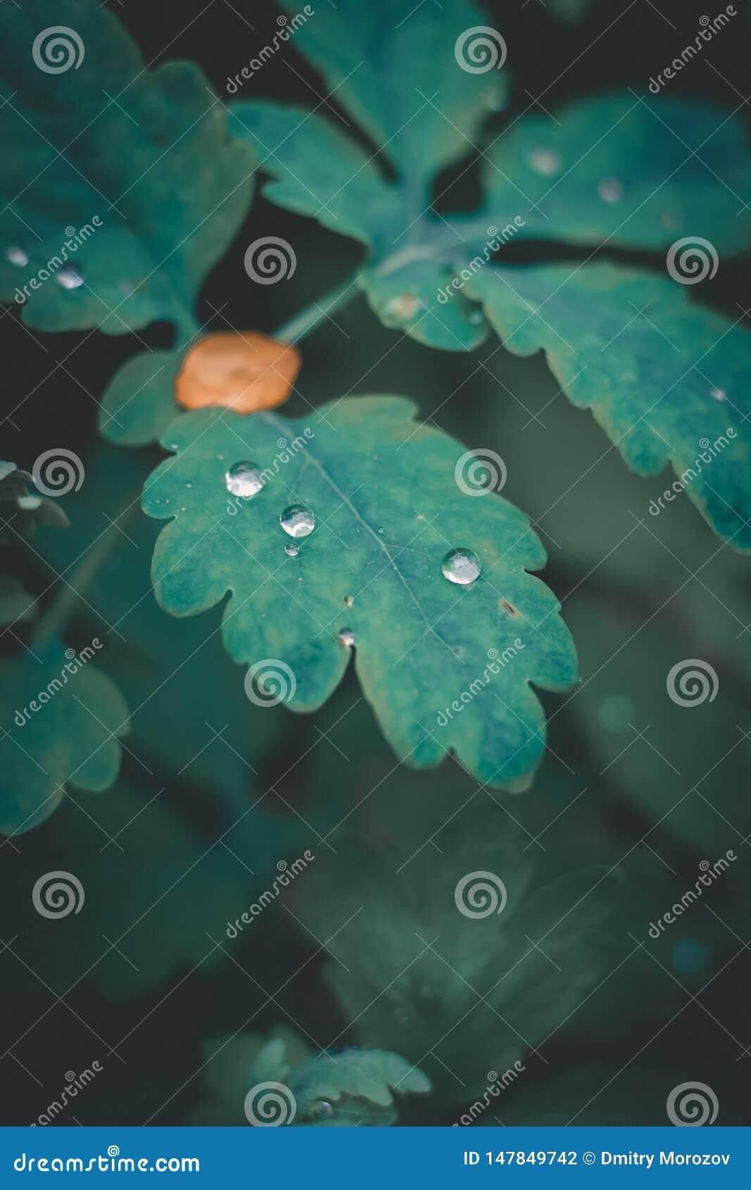 在绿色叶子的好的露水