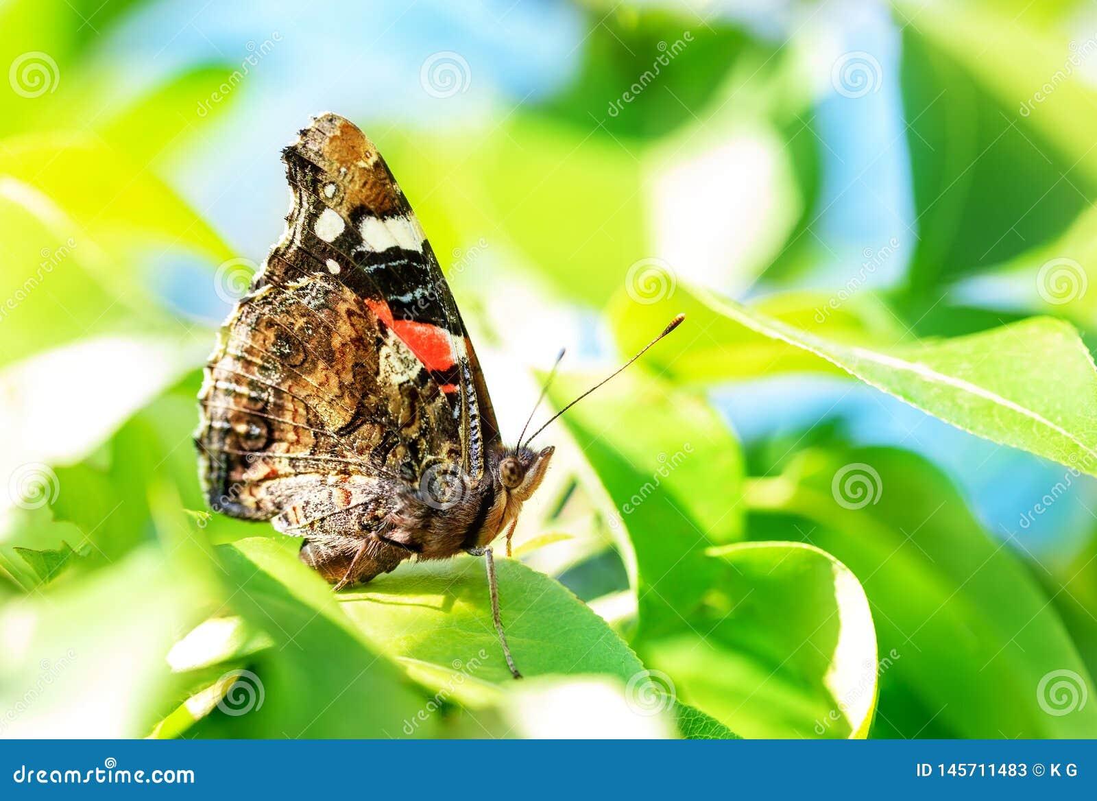 在绿色叶子的特写镜头宏观黑脉金斑蝶在果树庭院 昆虫在果树园 明亮的春天好日子背景