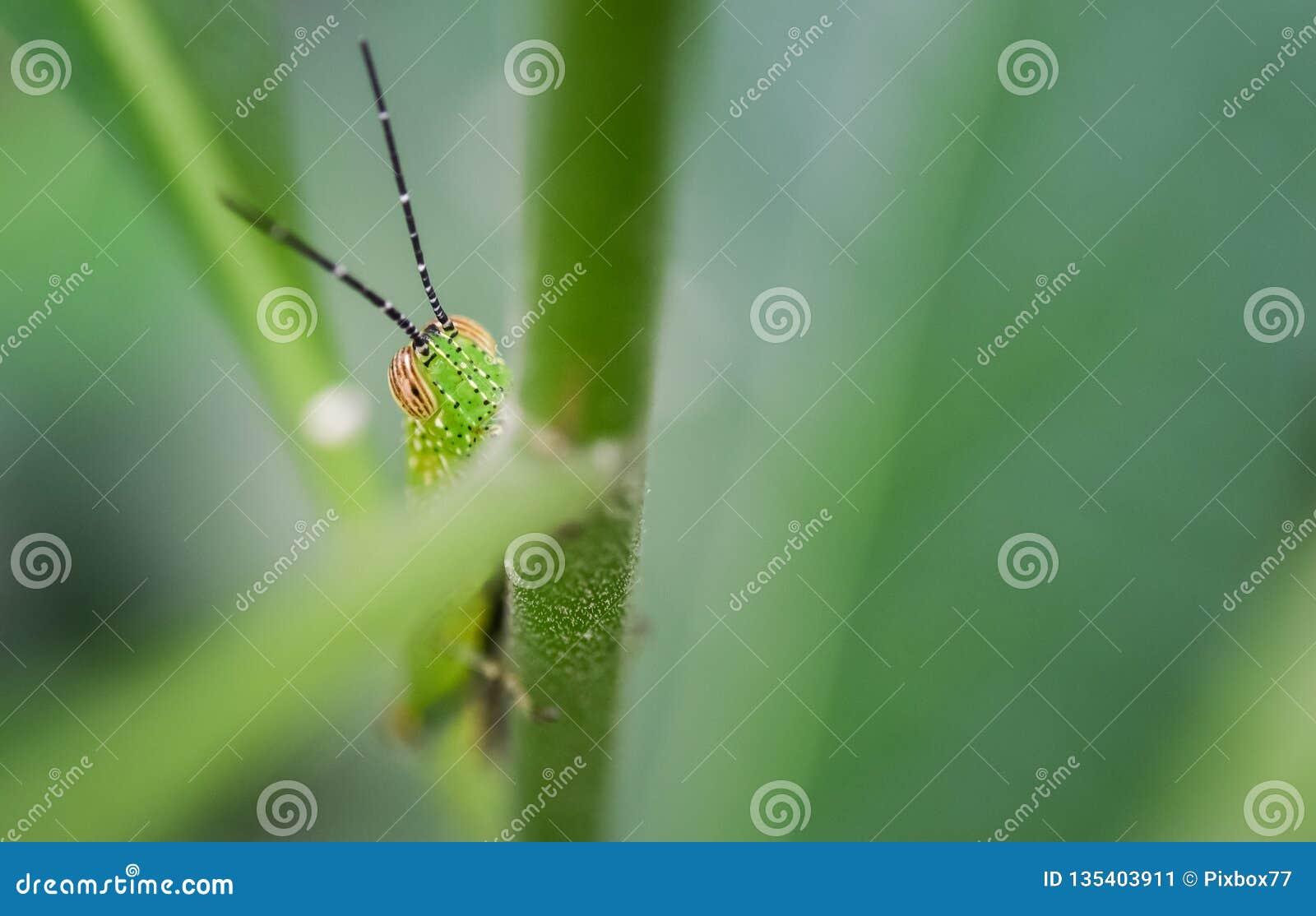 在绿色叶子的蚂蚱皮