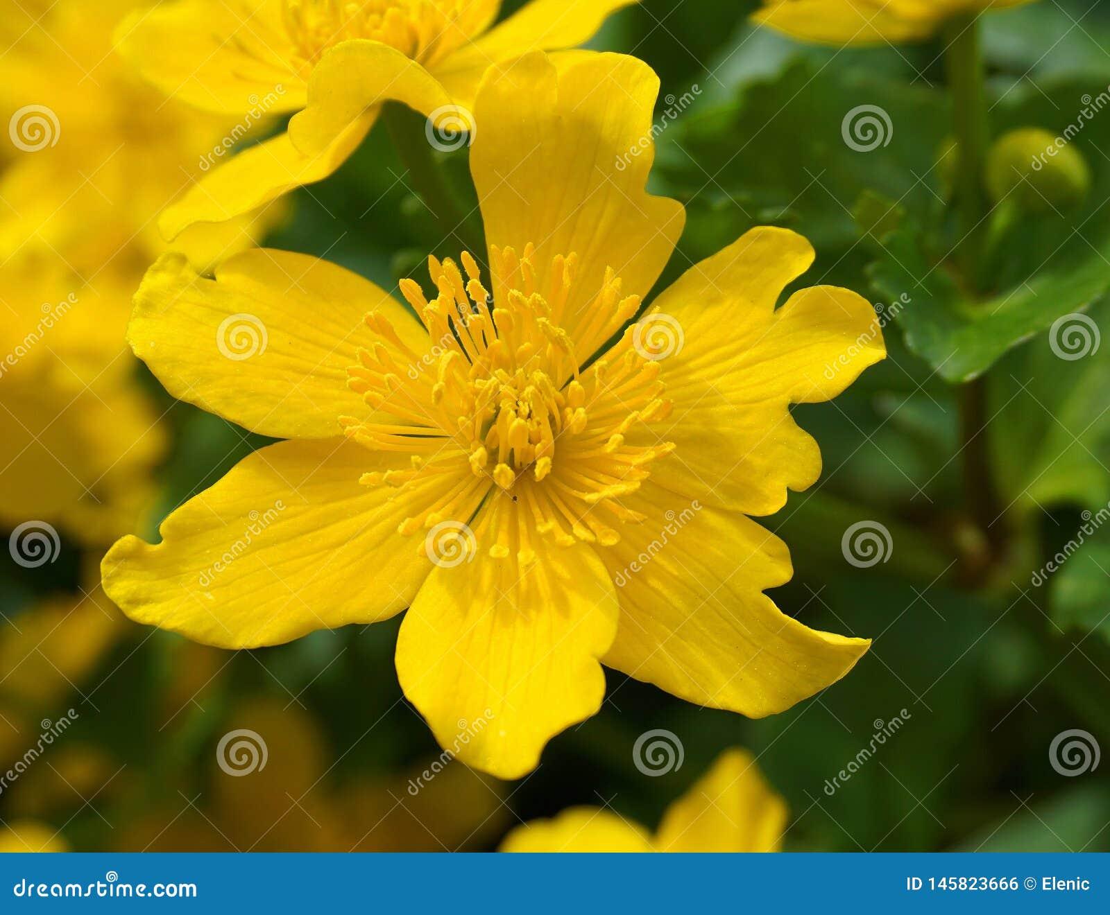 在绿色叶子背景关闭的明亮的黄色猿猴草属花 猿猴草属palustris,叫作沼泽万寿菊和kingcup花