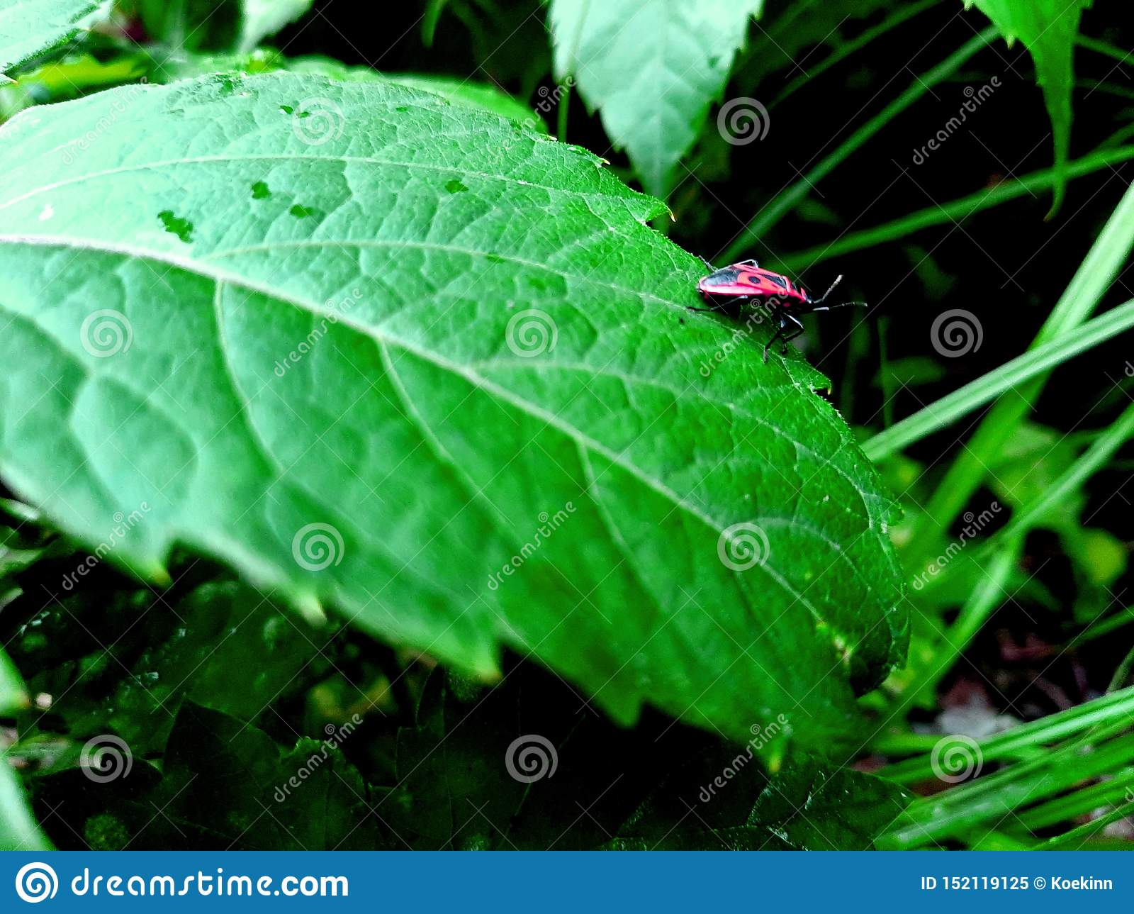 在绿色山谷草的红色战士臭虫