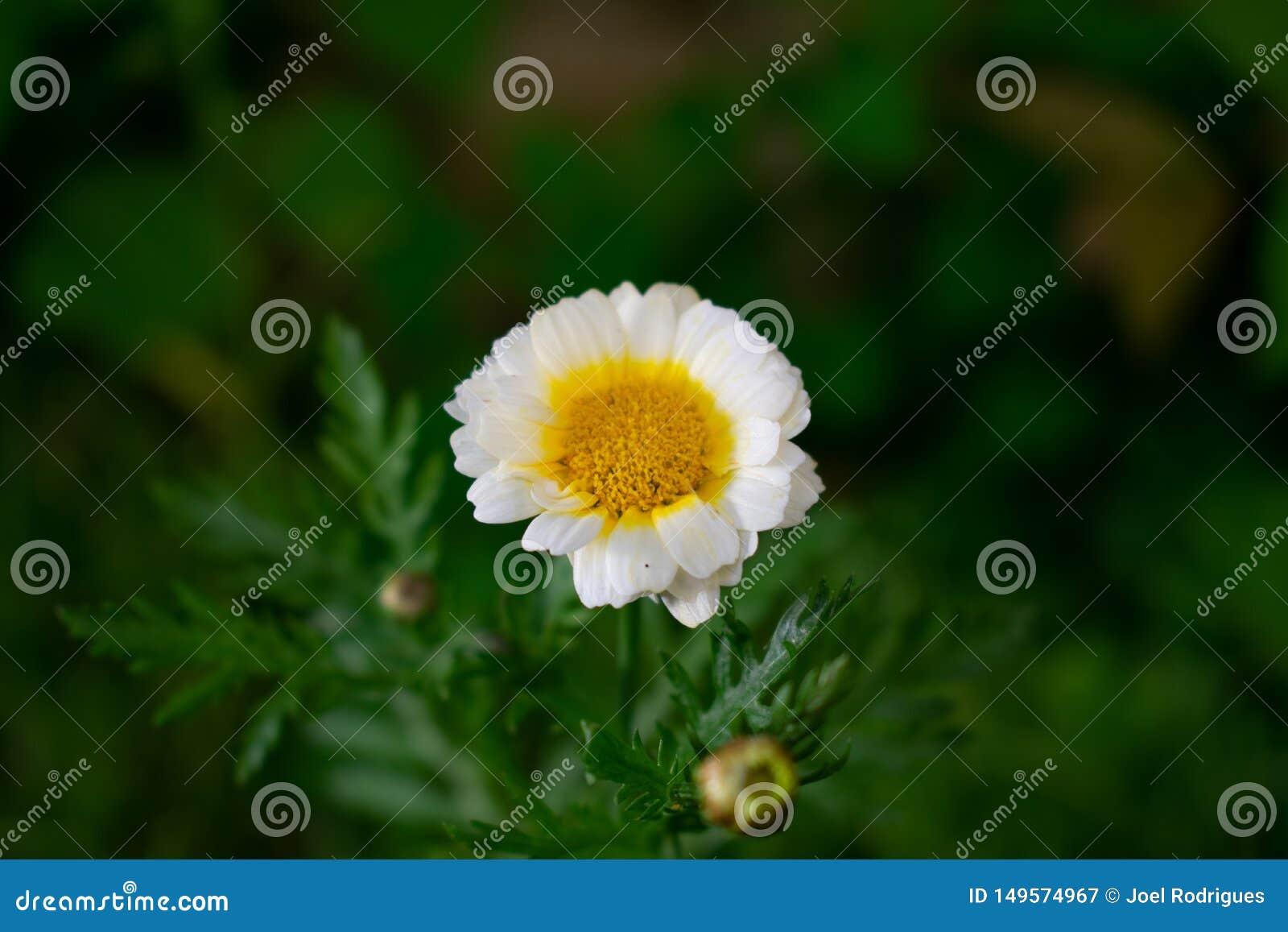 在绿色模糊的背景的春黄菊花