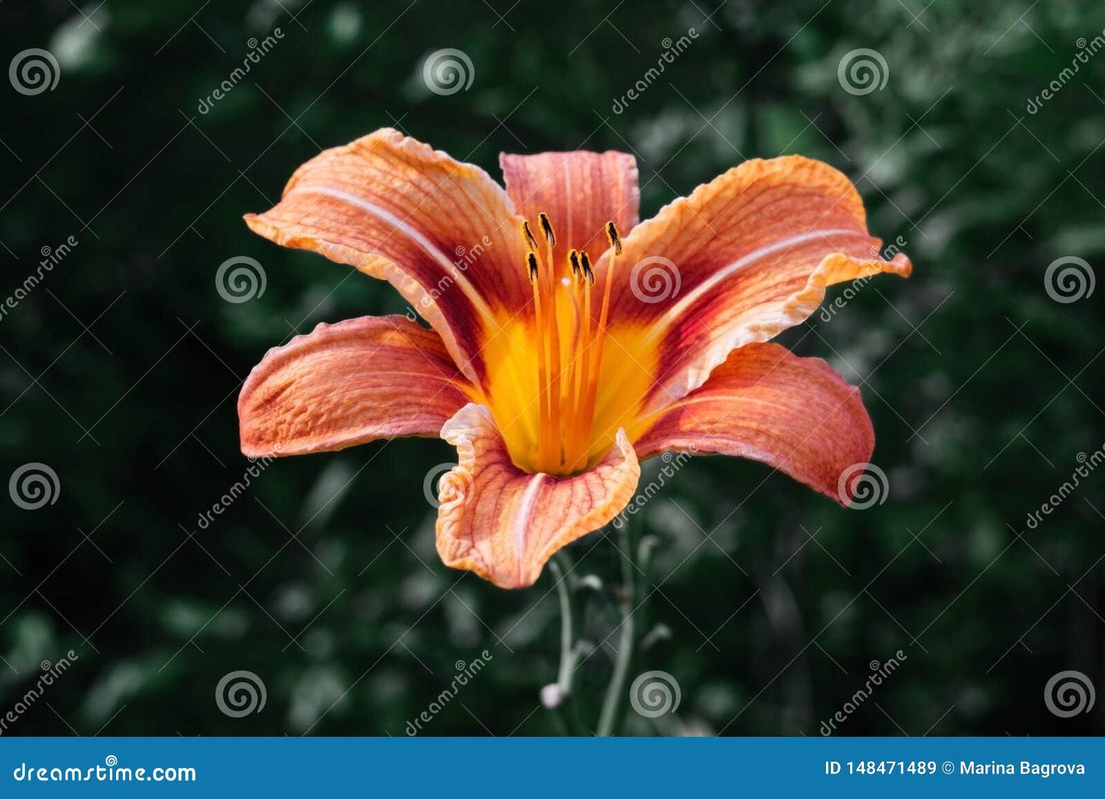 在绿色背景的明亮的美丽的橙色黄花菜花 百合、萱草属植物与黄色黑雄芯花蕊和桔子