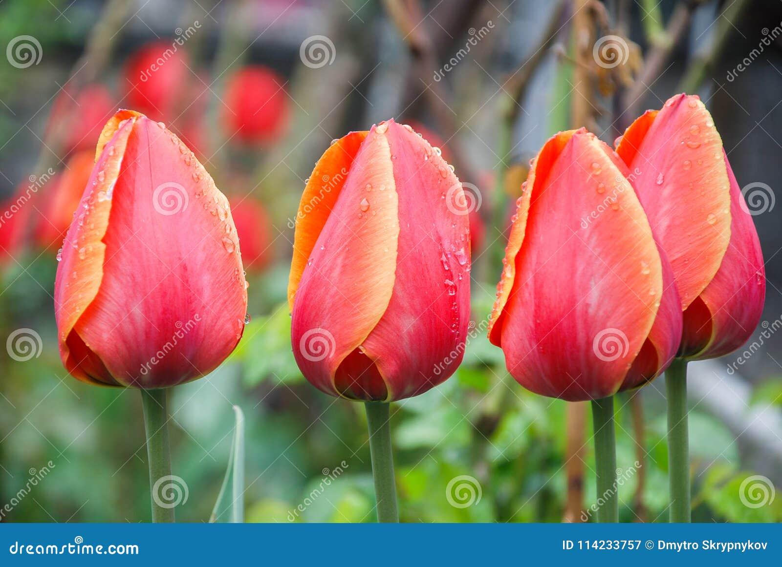 在绿色背景的红色郁金香,叶子,水滴下