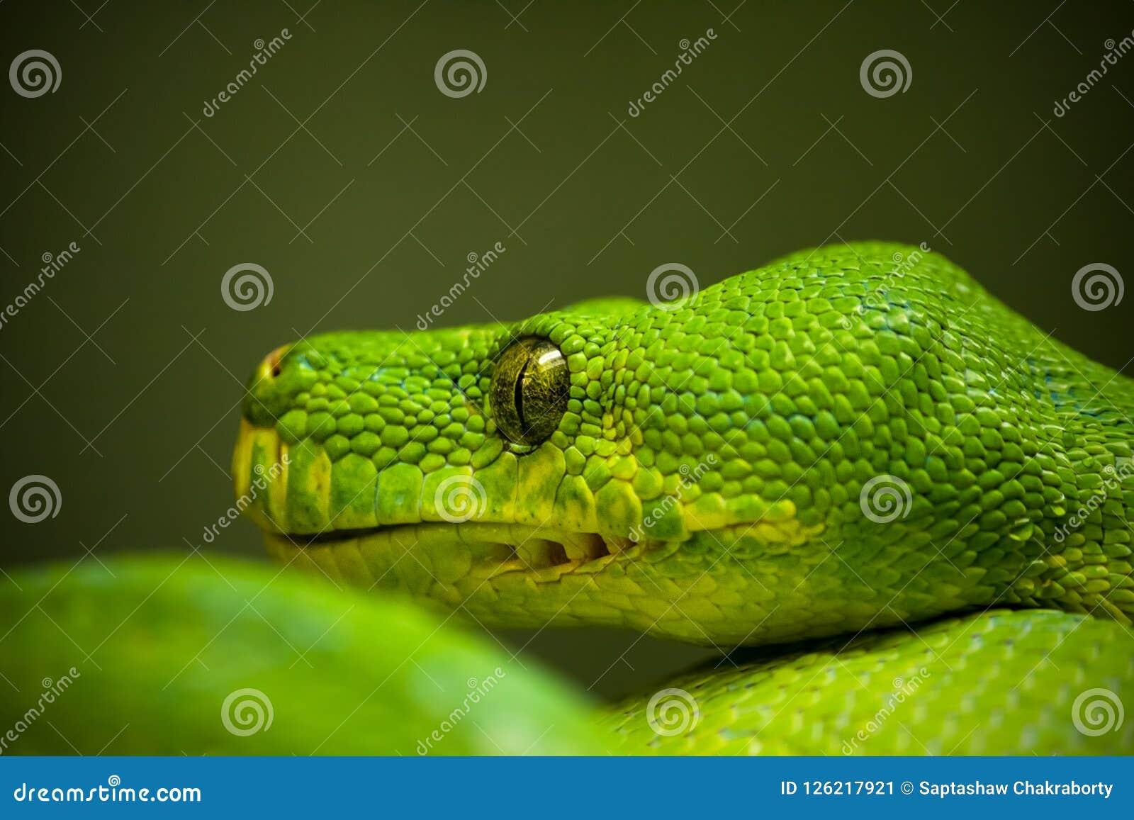 在绿色背景的绿色蟒蛇