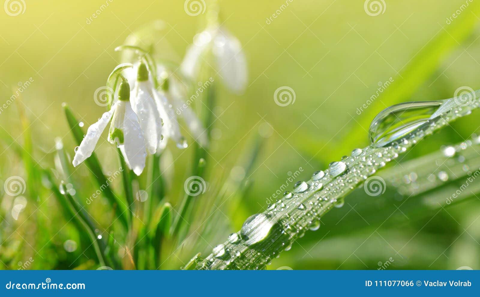 在绿草和snowdrop的露滴在草甸开花