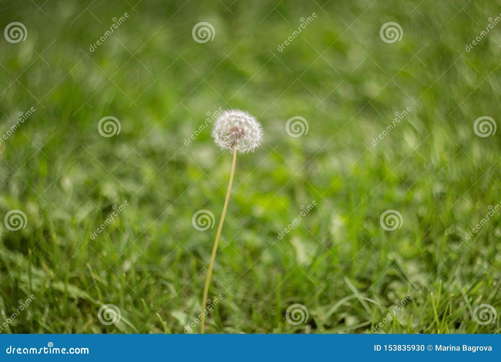 在绿草的开花的蓬松白色蒲公英在草甸 自然绿草背景 在领域的蒲公英