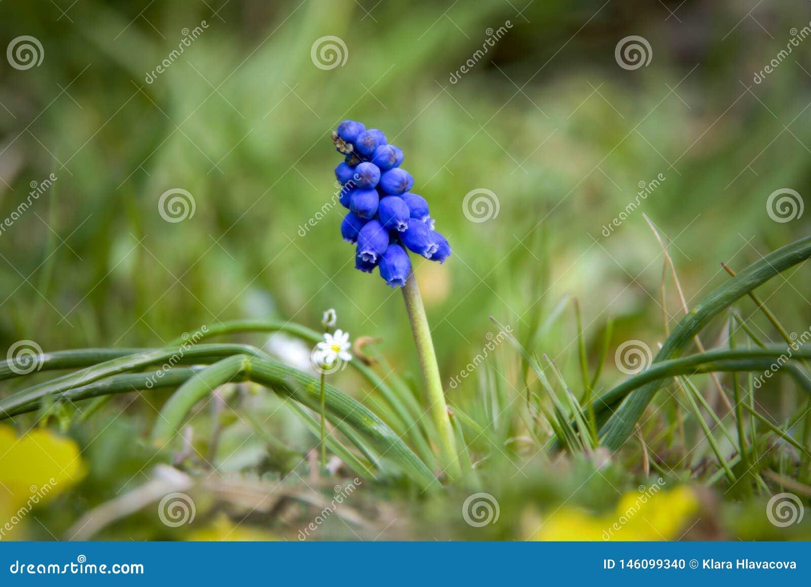 在绿草的穆斯卡里花