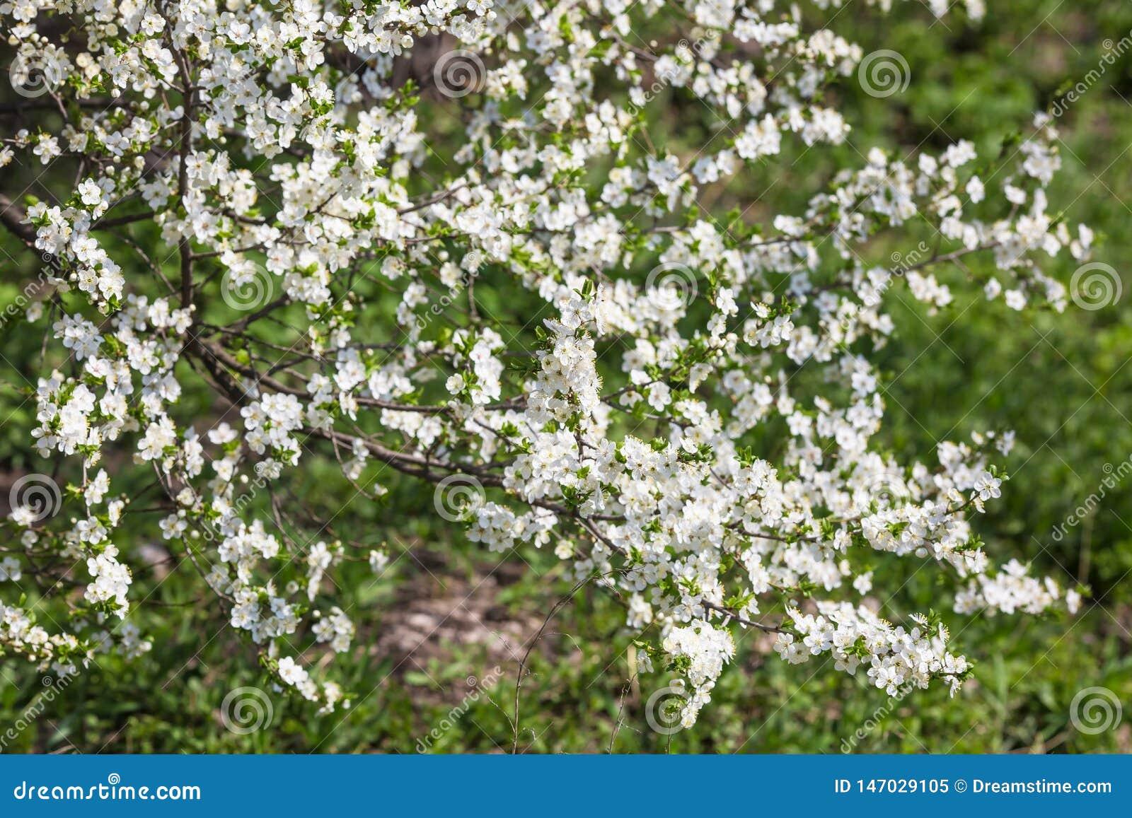 在绿草背景的开花的树分支