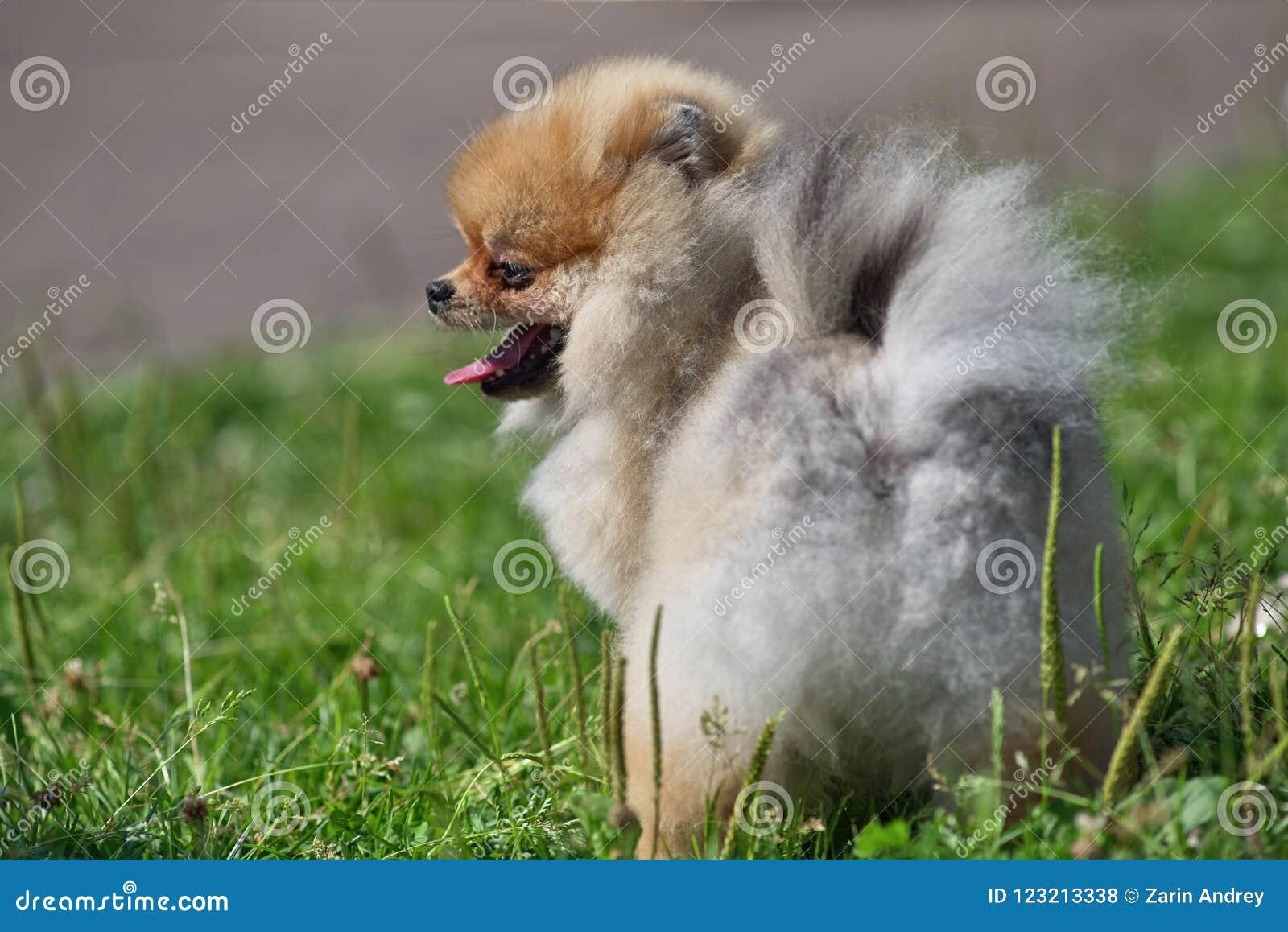 在绿草背景,背面图的红发Pomeranian