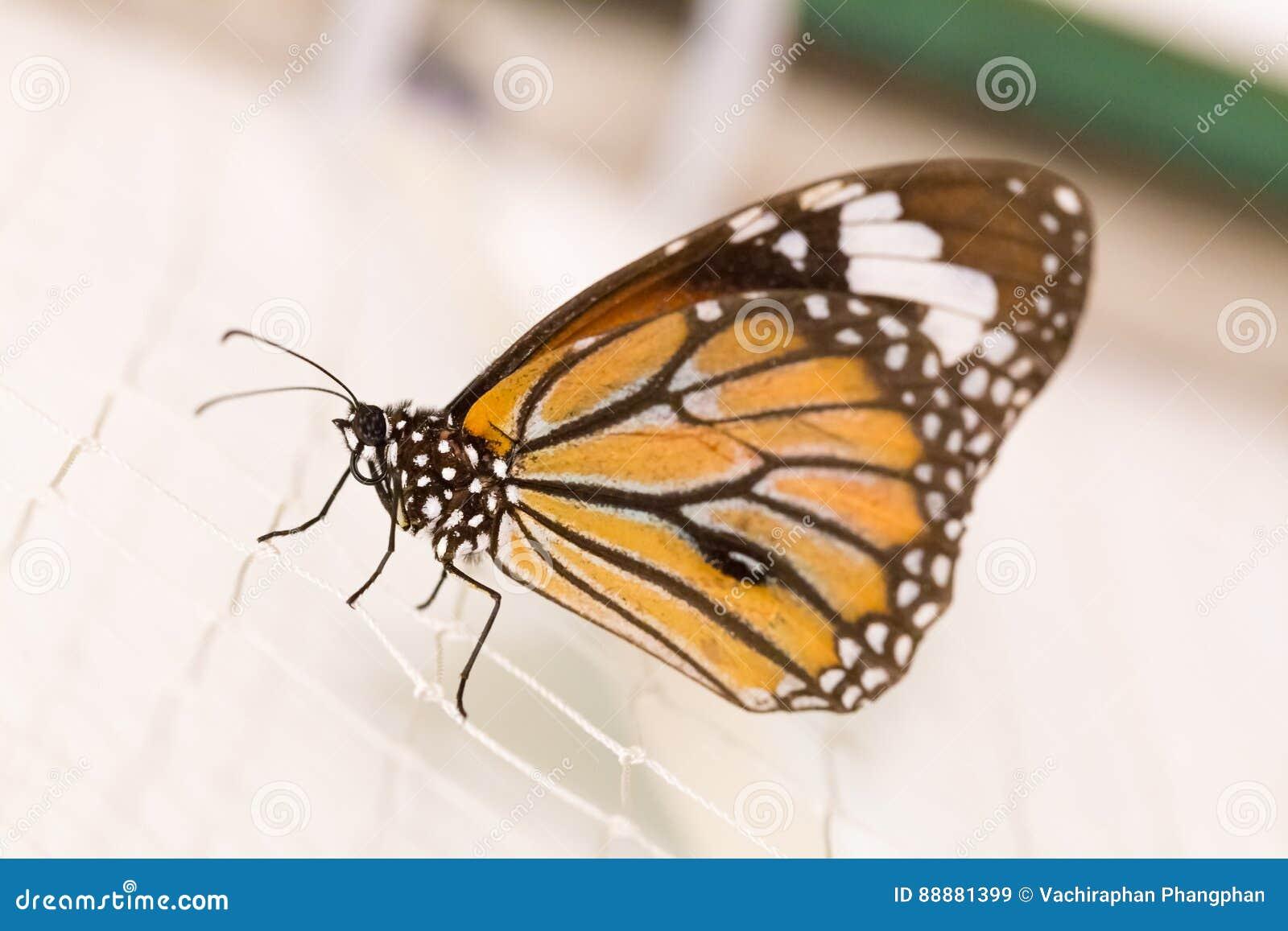 在网的蝴蝶