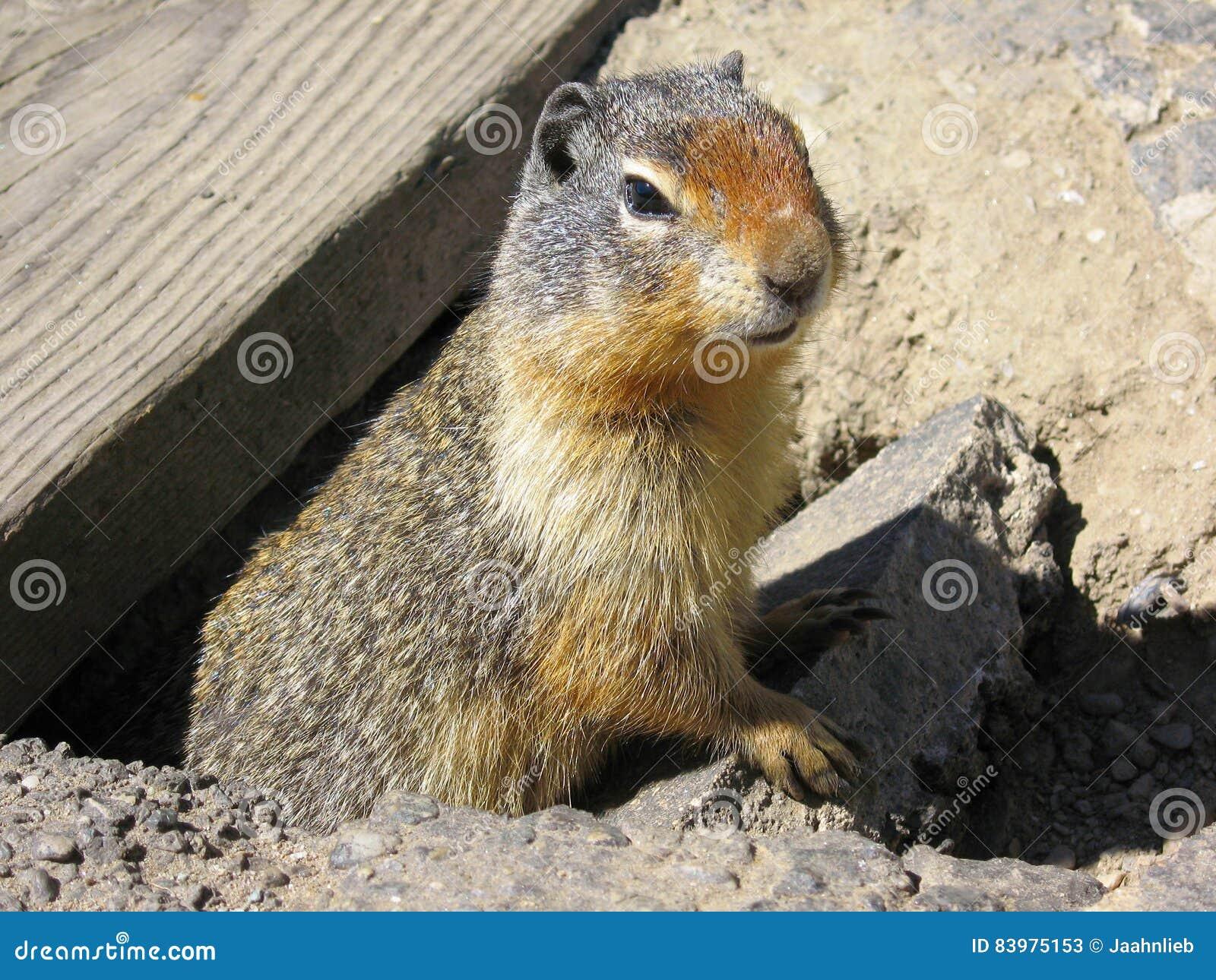 在罗杰斯通行证,冰川国家公园,不列颠哥伦比亚省,加拿大的哥伦比亚地松鼠
