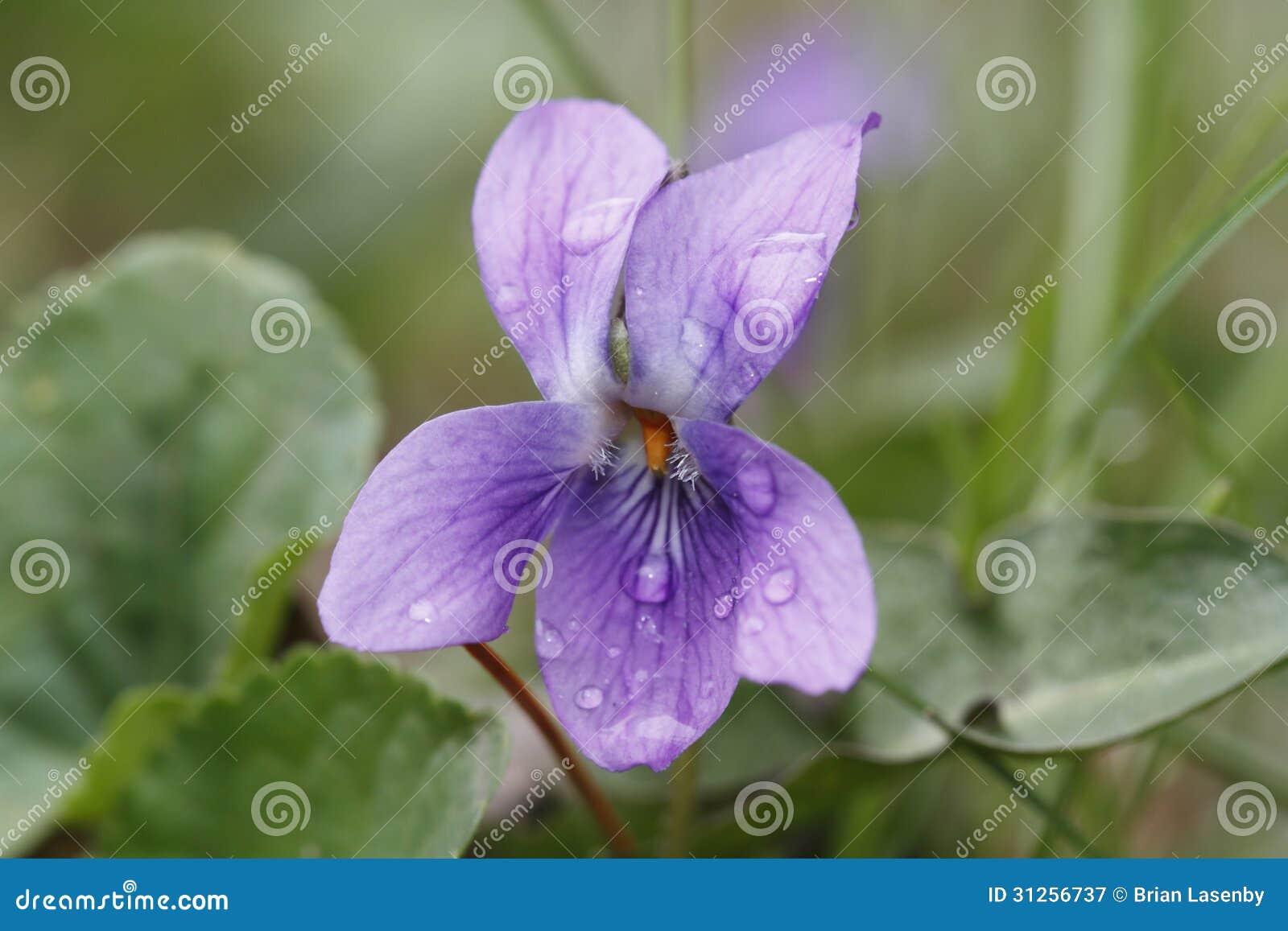 在羊毛制蓝色紫罗兰的雨珠在春天