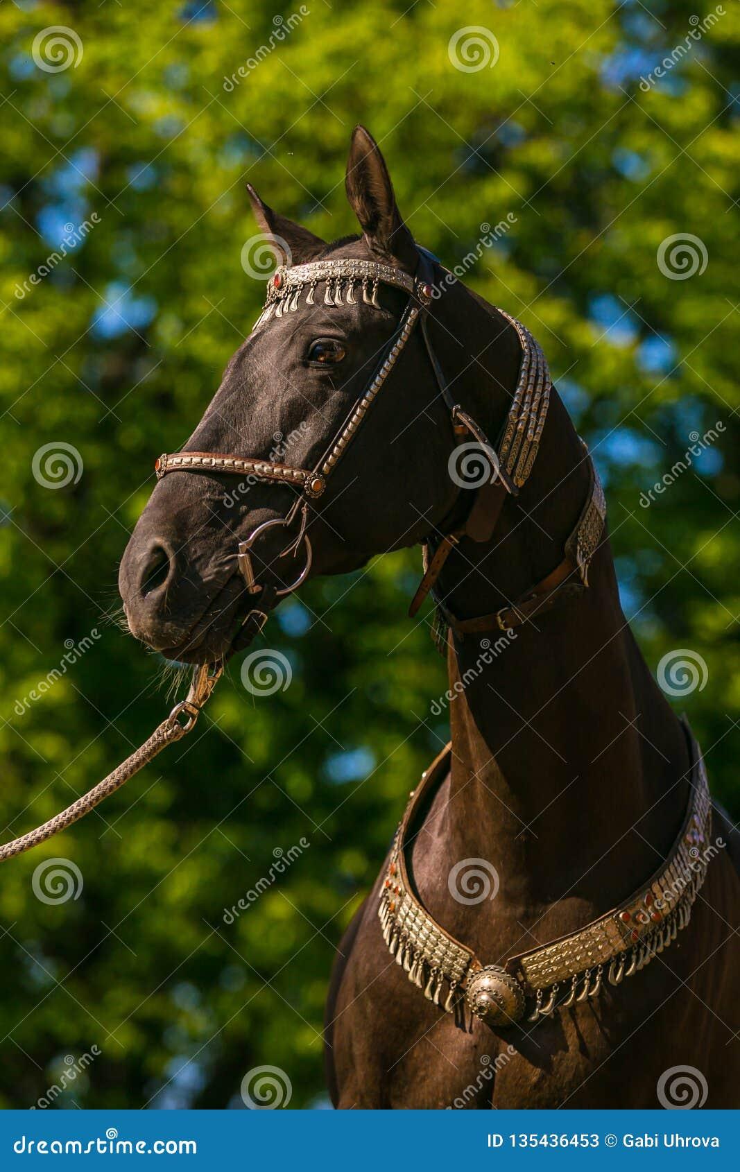 在美丽的黑褐色akhal teke马外形画象