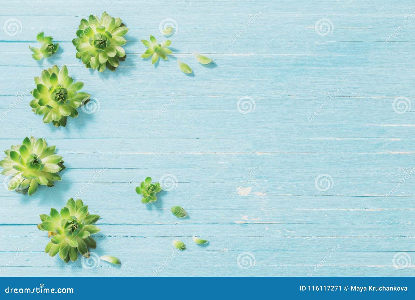 在老蓝色木背景的多汁植物
