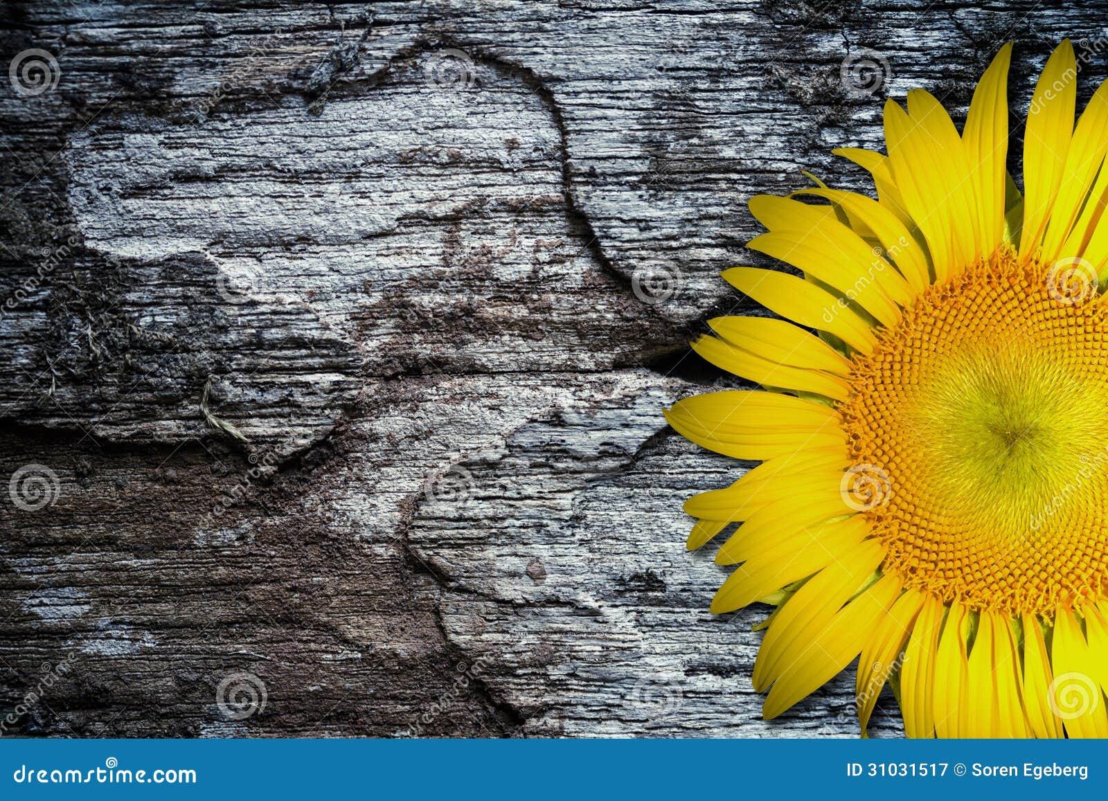 在老织地不很细木地板背景的黄色向日葵