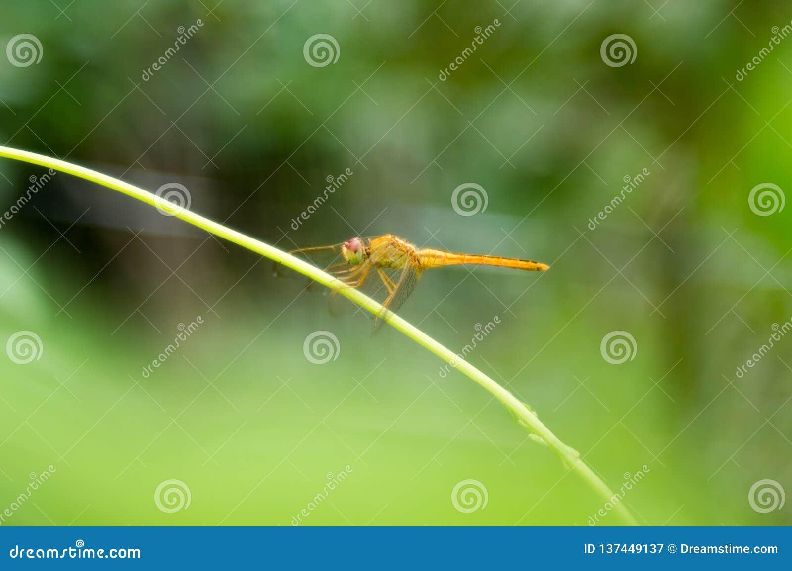 在腺secium的edule的一只黄色蜻蜓