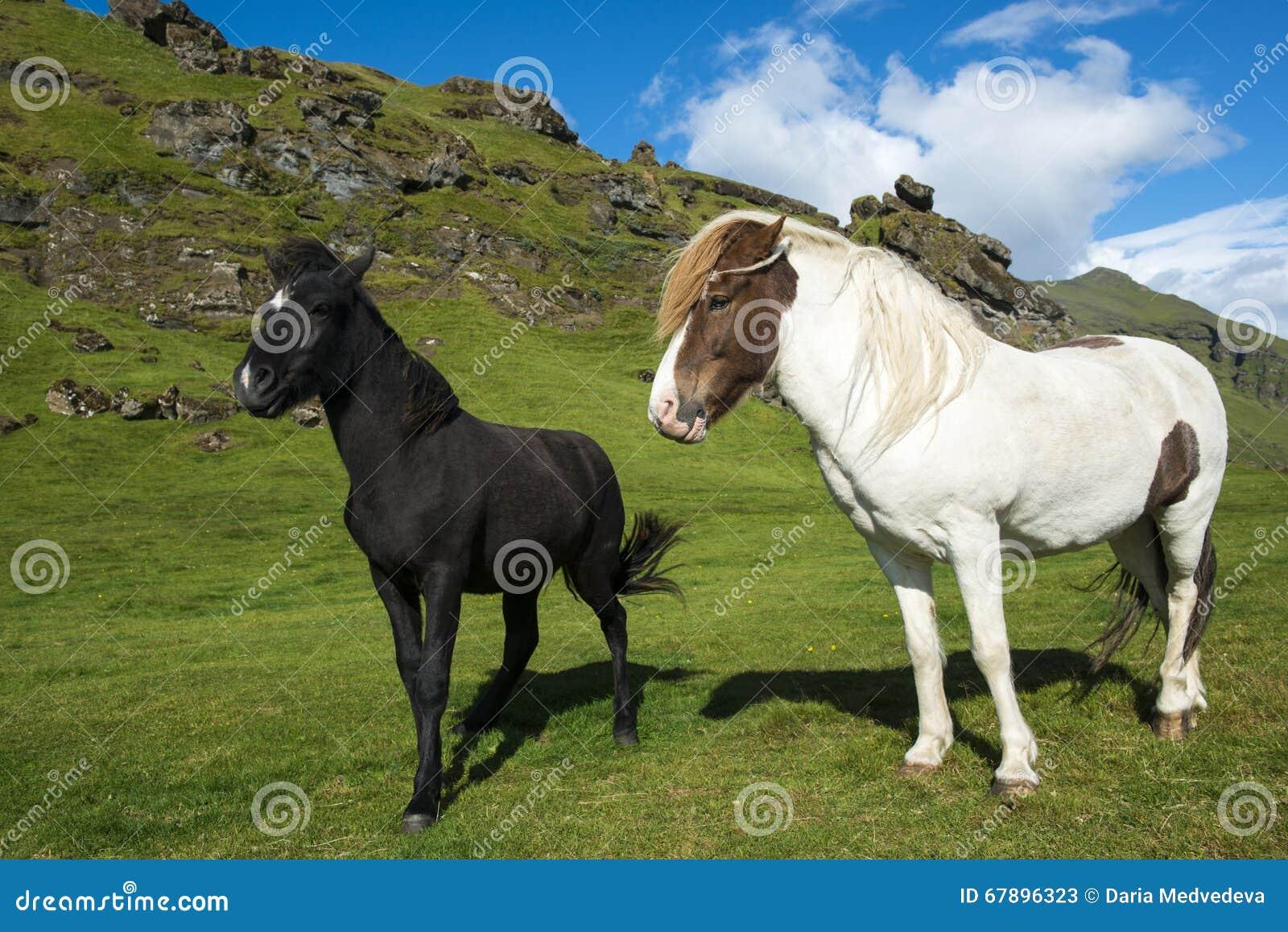 在自然本底的两匹不同冰岛马与蓝天和青山
