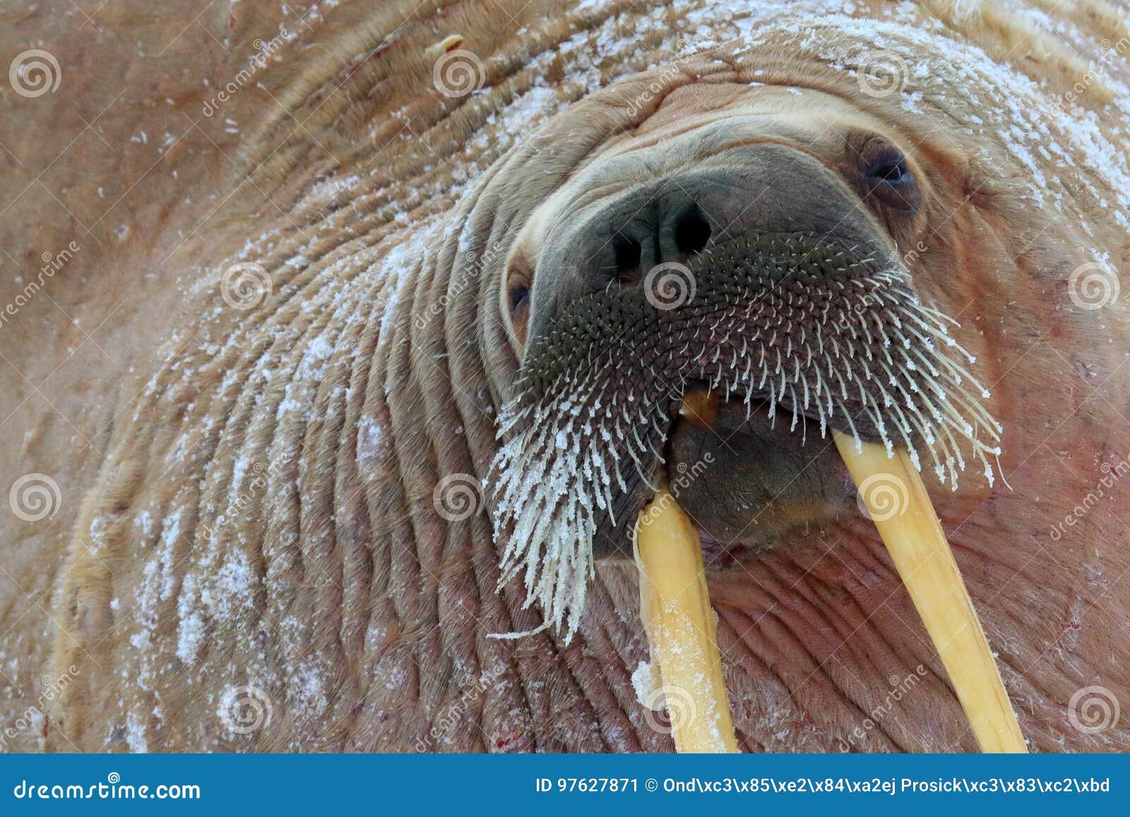 在自然栖所,斯瓦尔巴特群岛,挪威详述海象画象与大白色象牙,海象属rosmarus,大动物的 特写镜头portrai