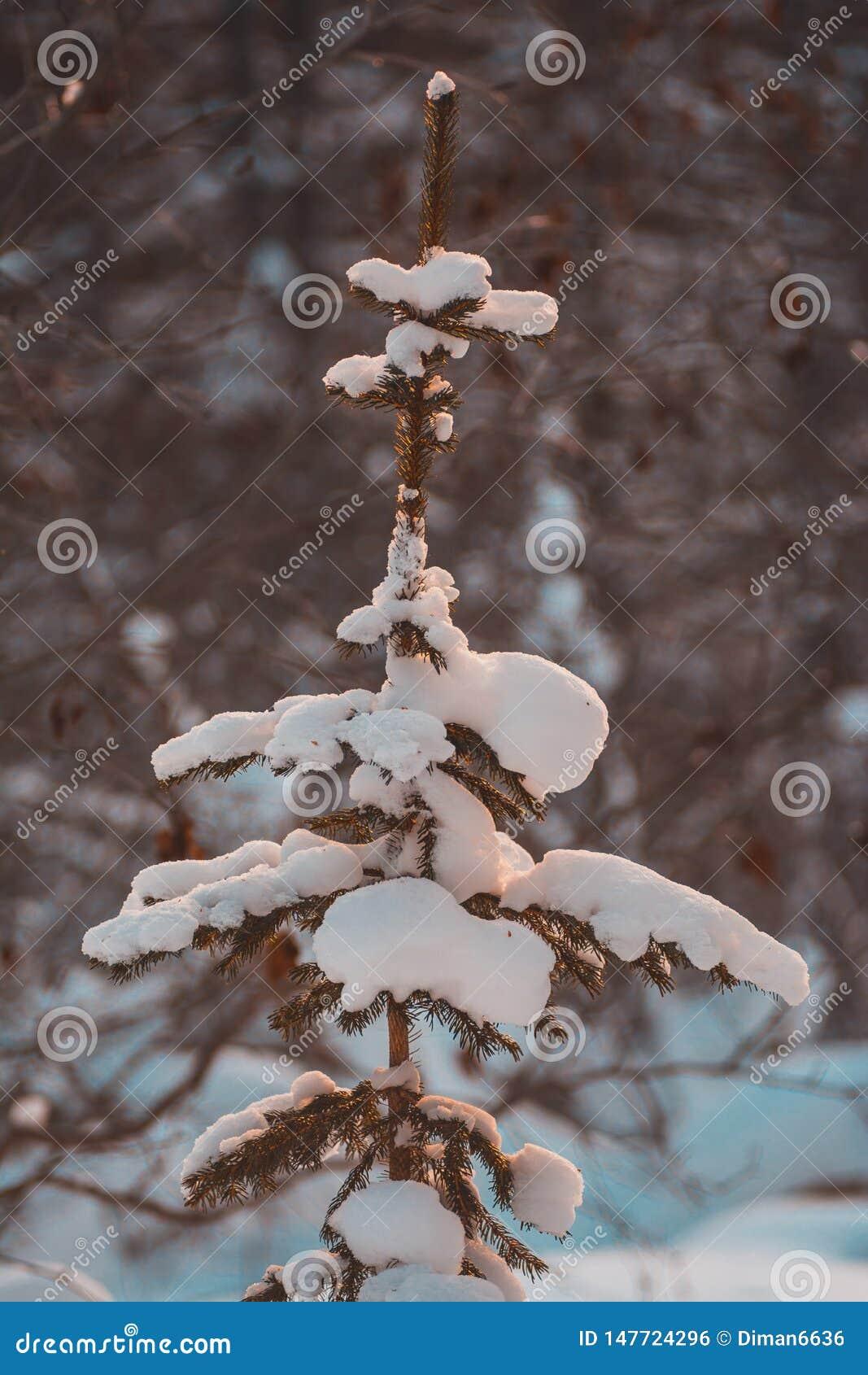 在自然的圣诞树在雪,一棵多雪的树在森林里