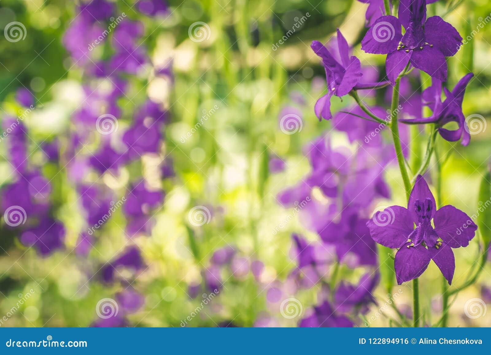在自然的美丽的紫色翠雀花