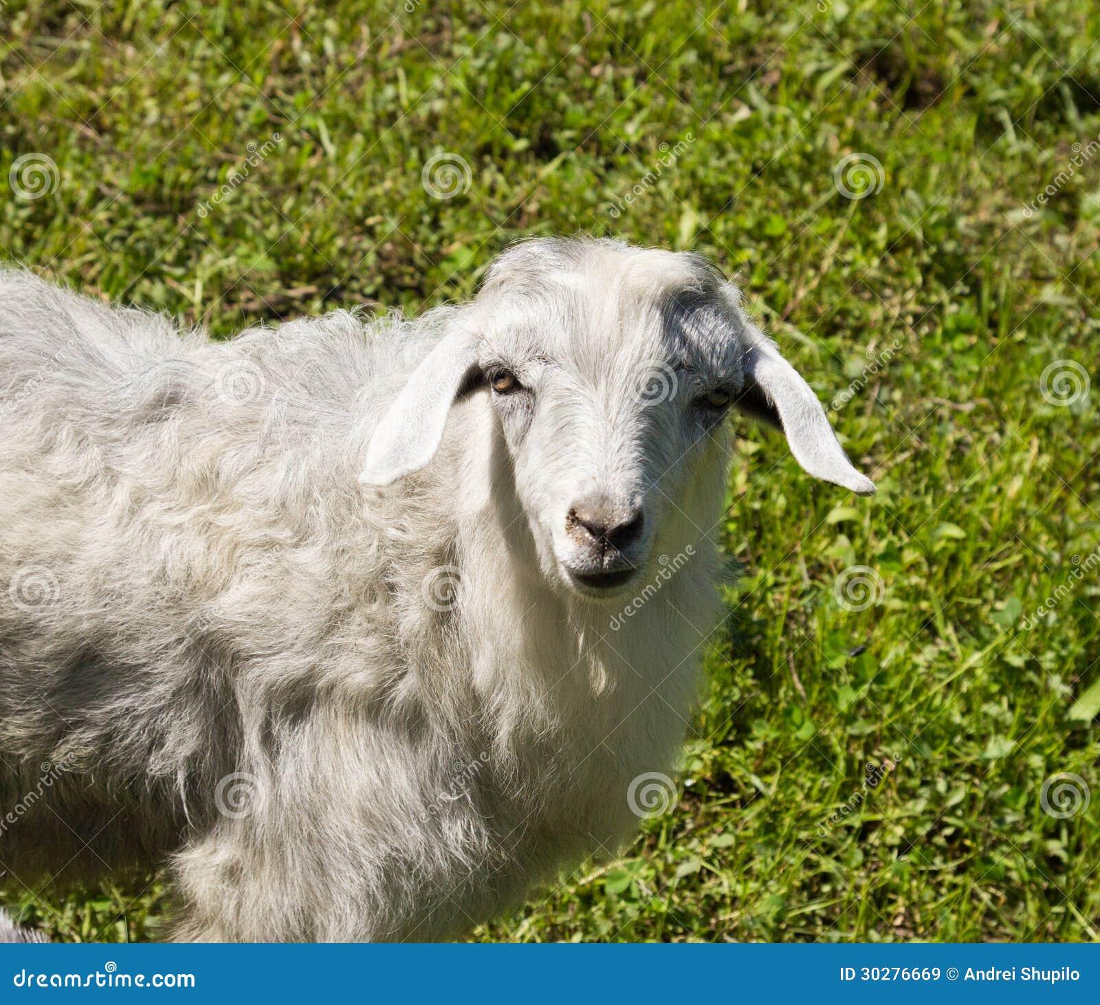 在自然的山羊