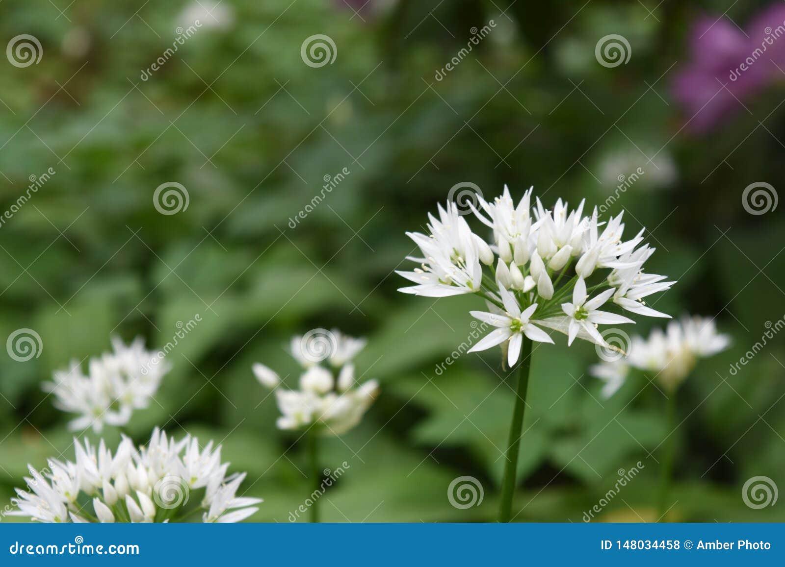 在自然绿色背景的白色野生蒜花开花