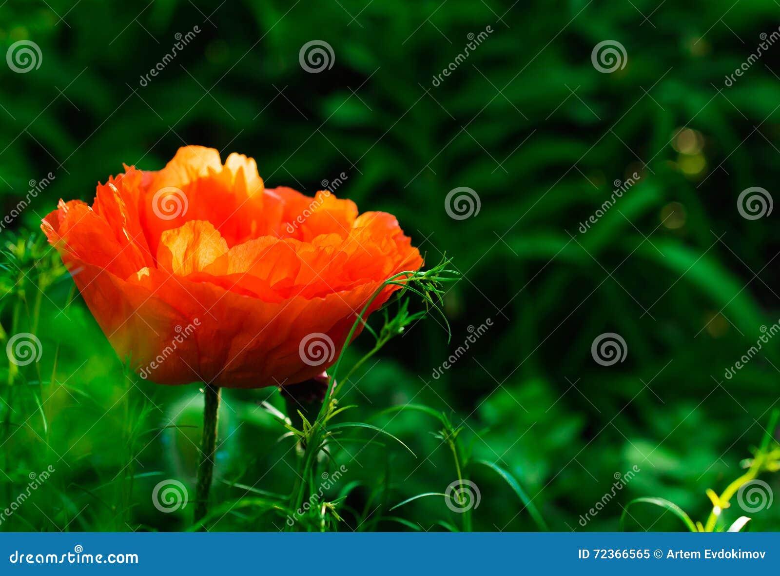 在自然背景的红色鸦片花