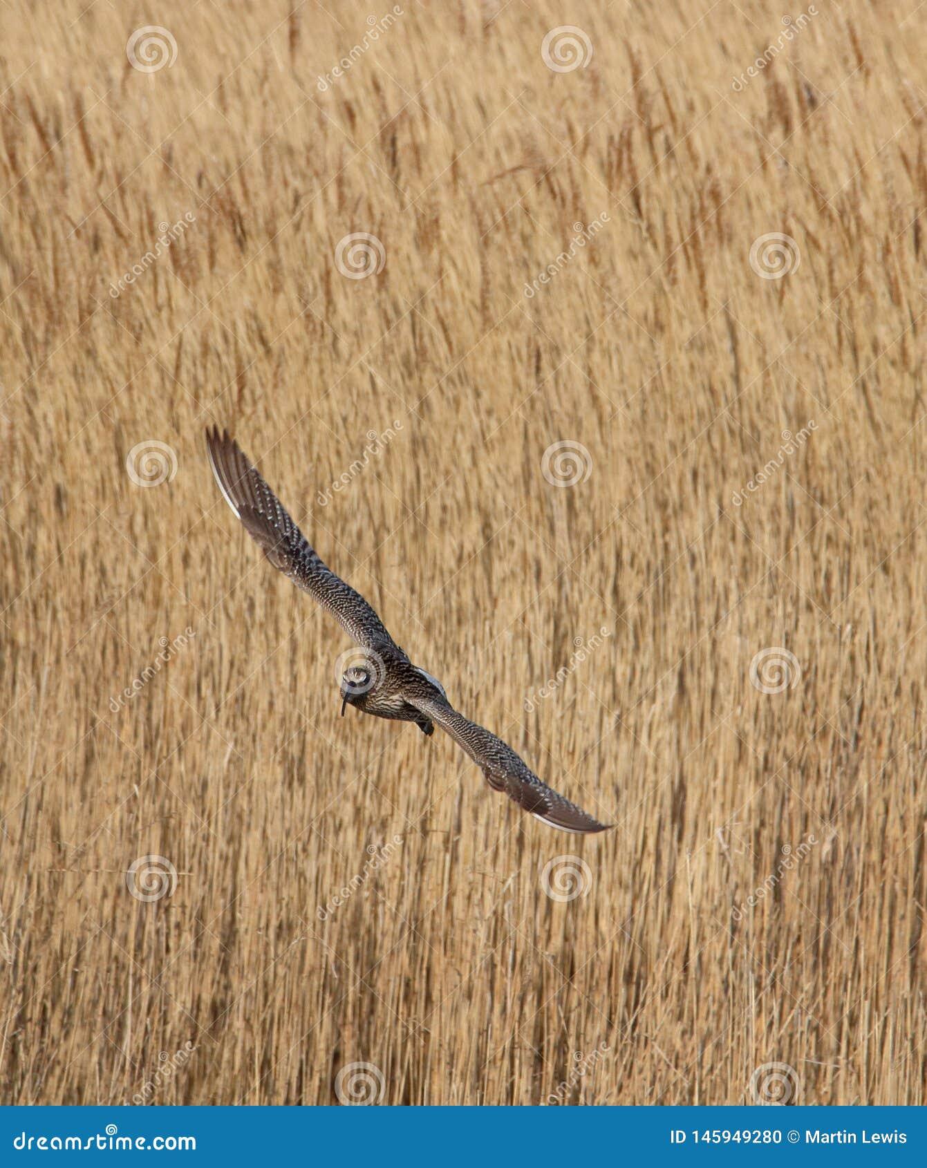 在芦苇的麻鹬飞行