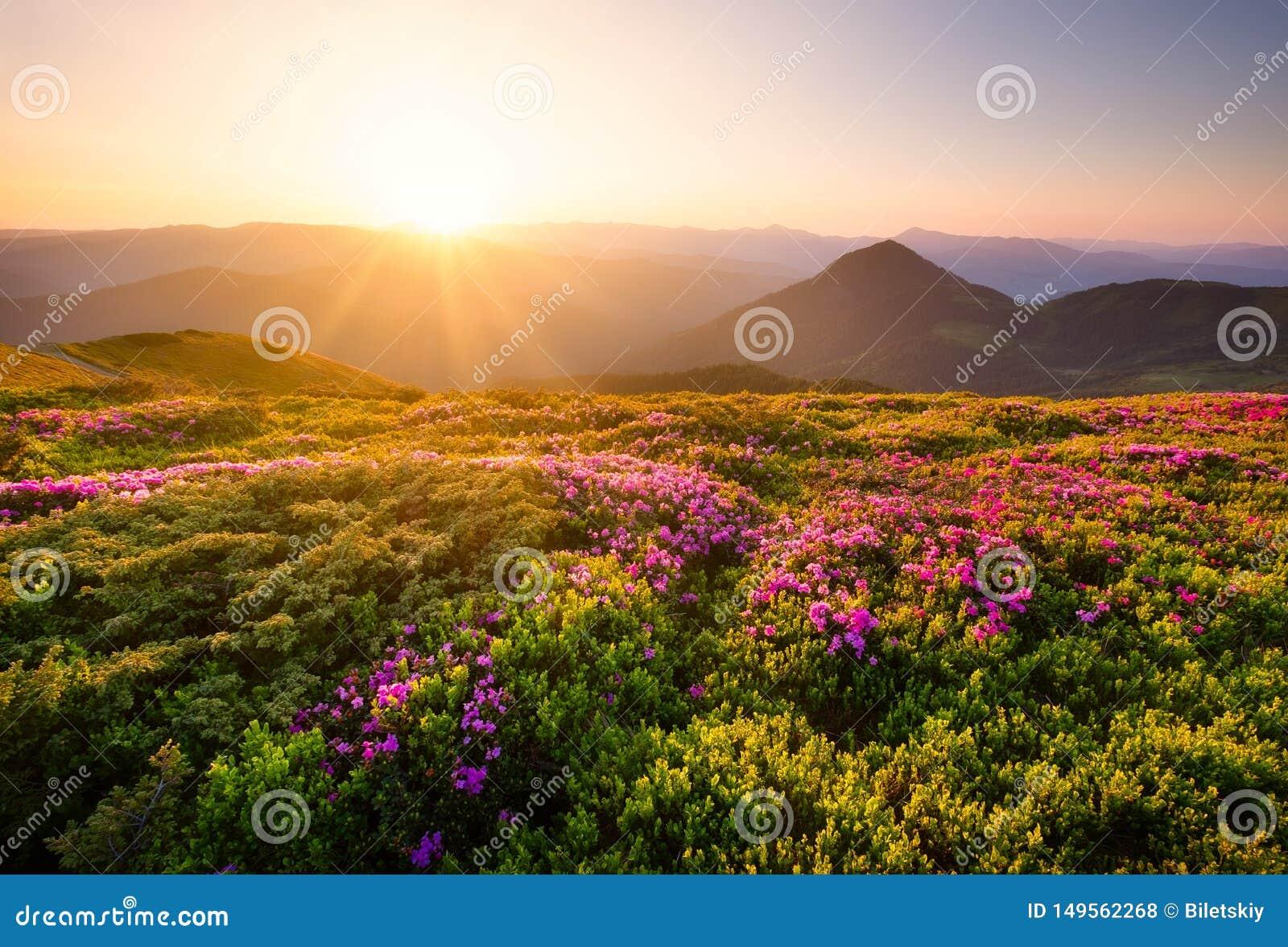 在花期间的山开花和日出 在山小山的花 在夏时的自然风景 ??