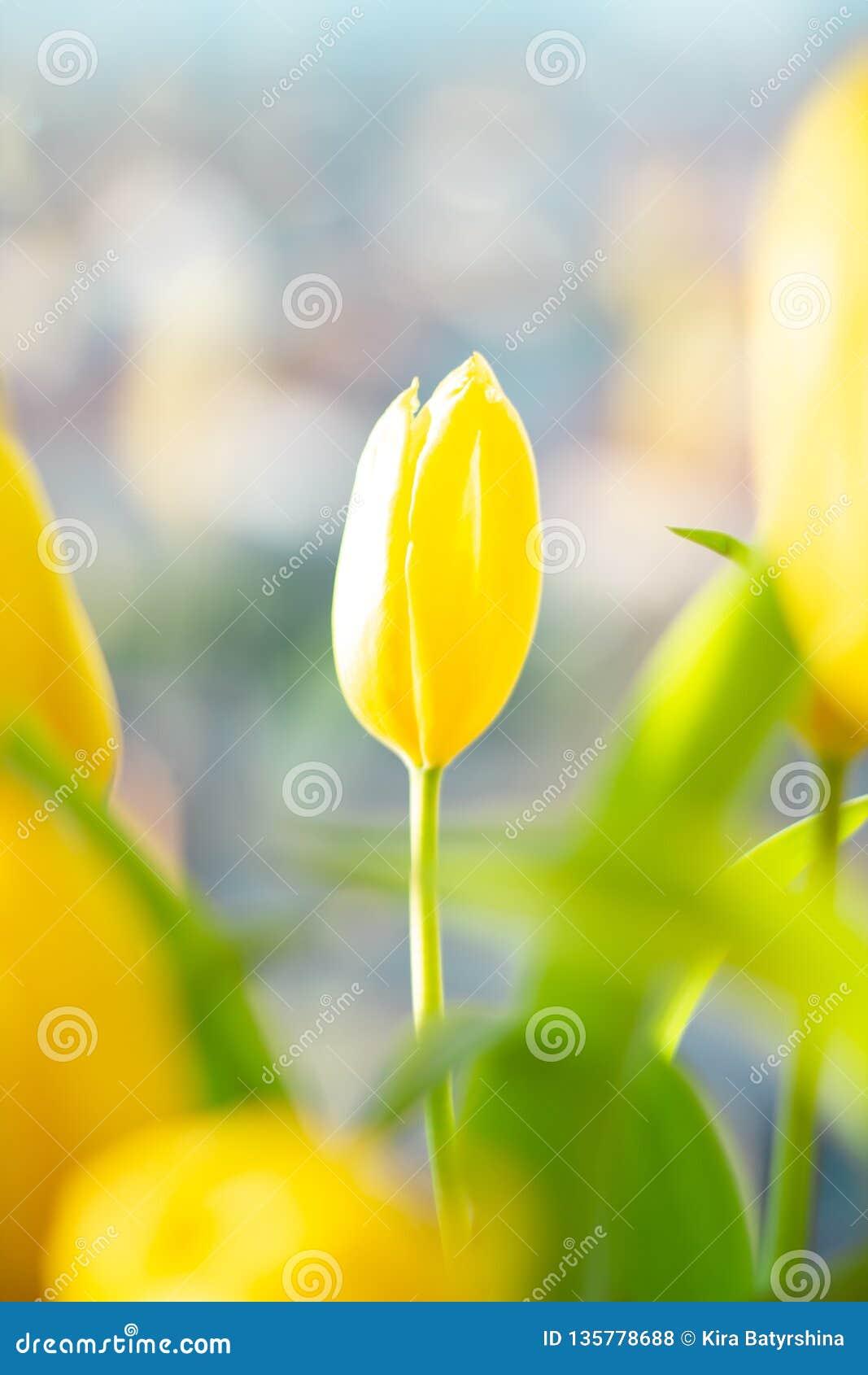 在花束的一黄色精美郁金香在镇,都市背景bokeh
