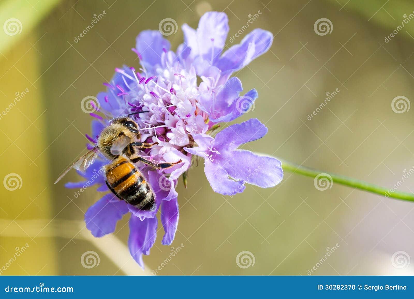 在花的一只蜂
