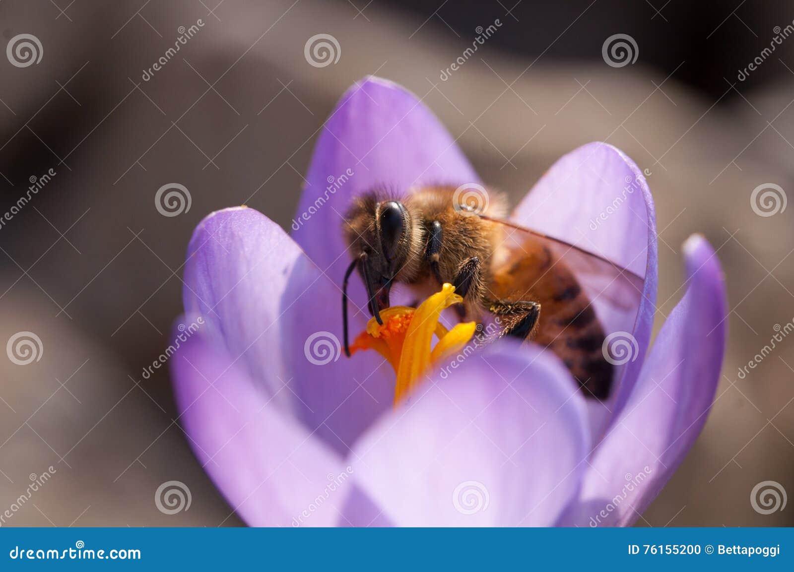 在花的蜂蜜蜂
