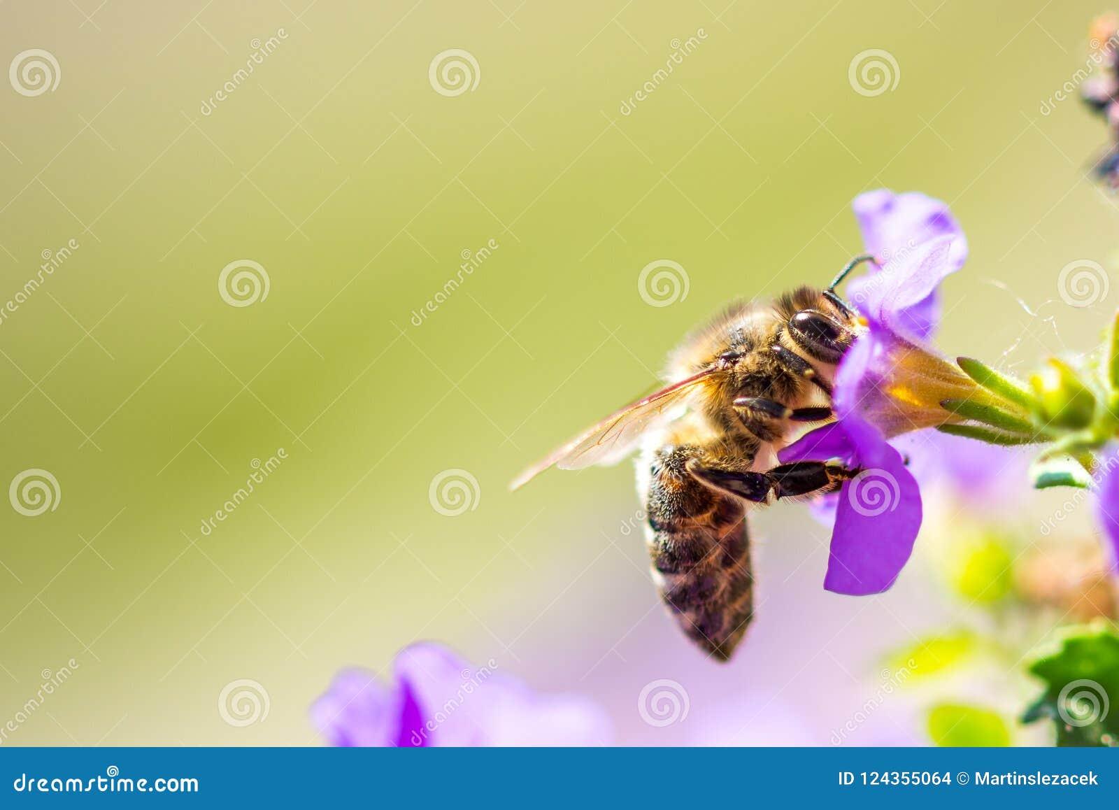 在花的蜂 小有用的昆虫是工作和做蜂蜜 与翼的蜜蜂在开花 在乡下的春天我