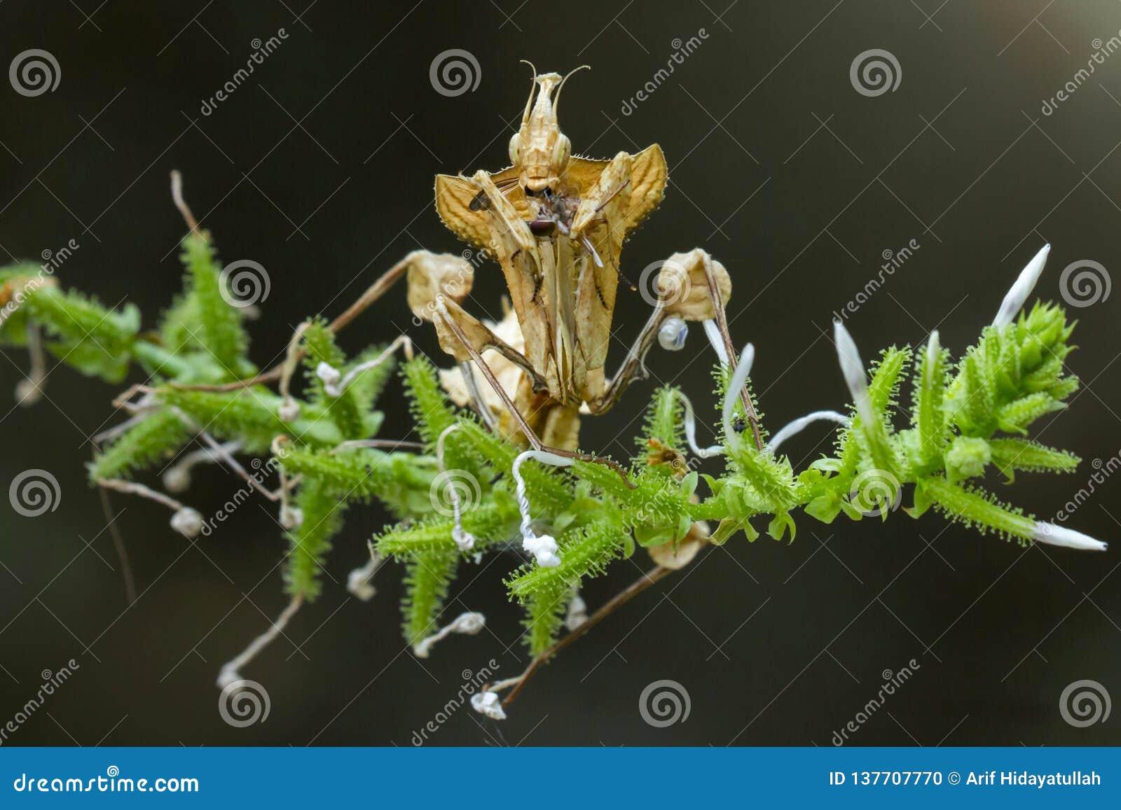 在花的螳螂