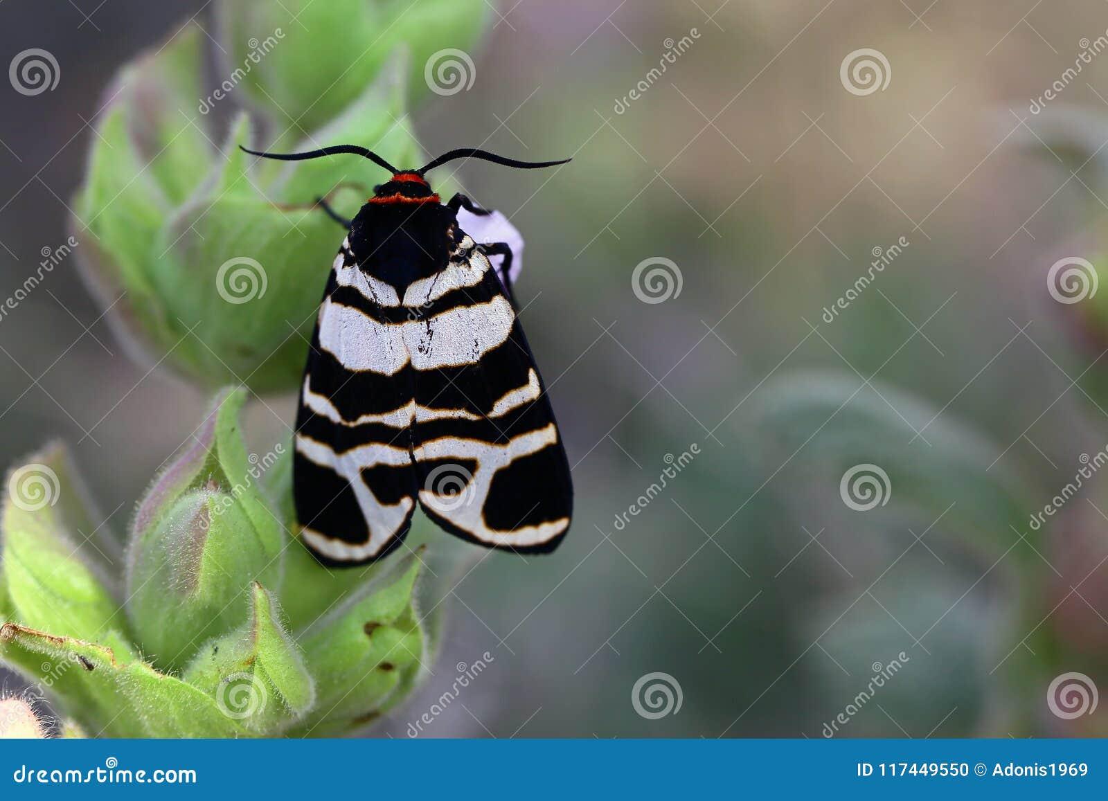 在花的黑白飞蛾