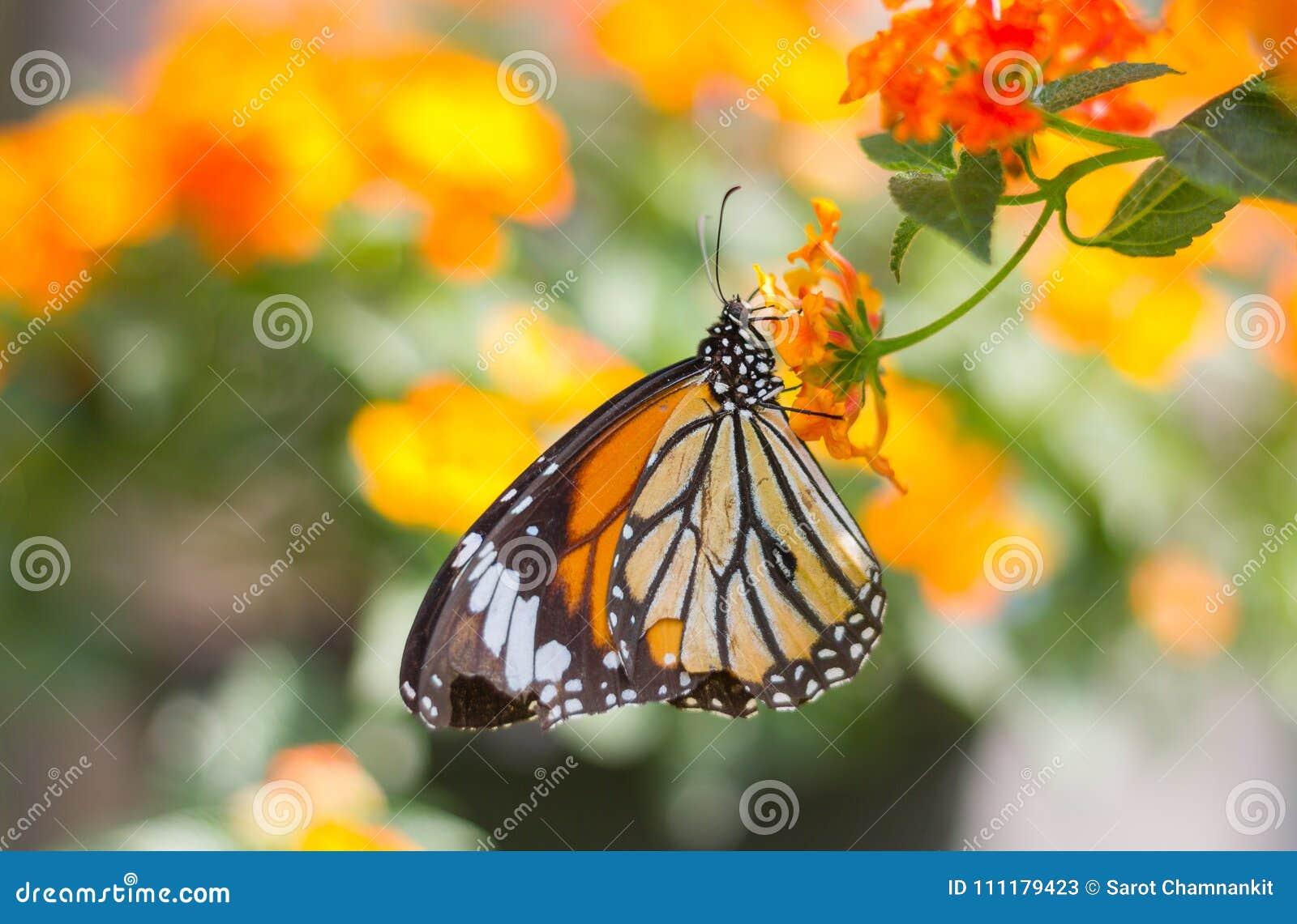 在花的黑脉金斑蝶