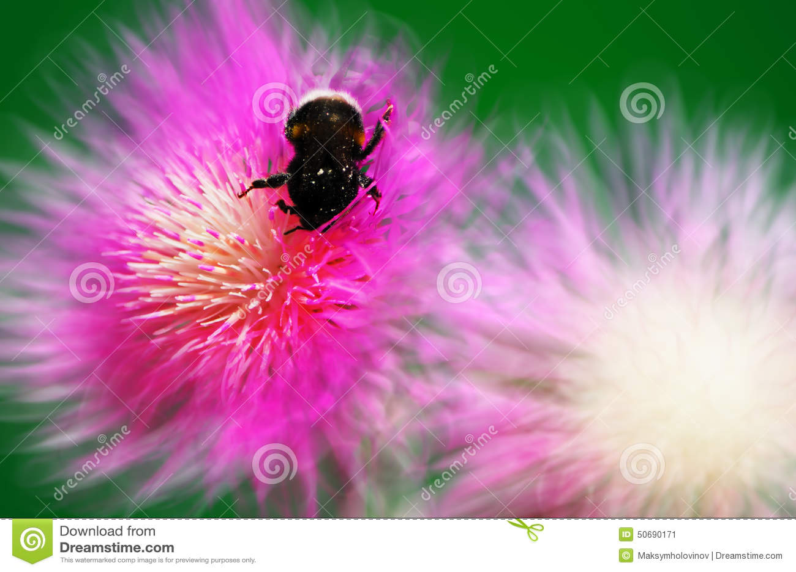 Download 在花矢车菊的土蜂 库存图片. 图片 包括有 没人, 户外, 生活, bossies, 装饰, 绿色, beautifuler - 50690171
