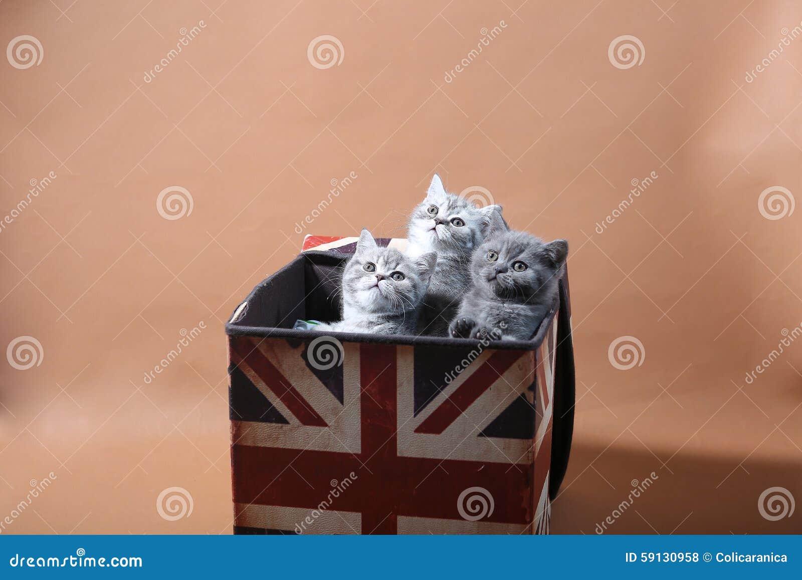 在英国国旗箱子的小猫