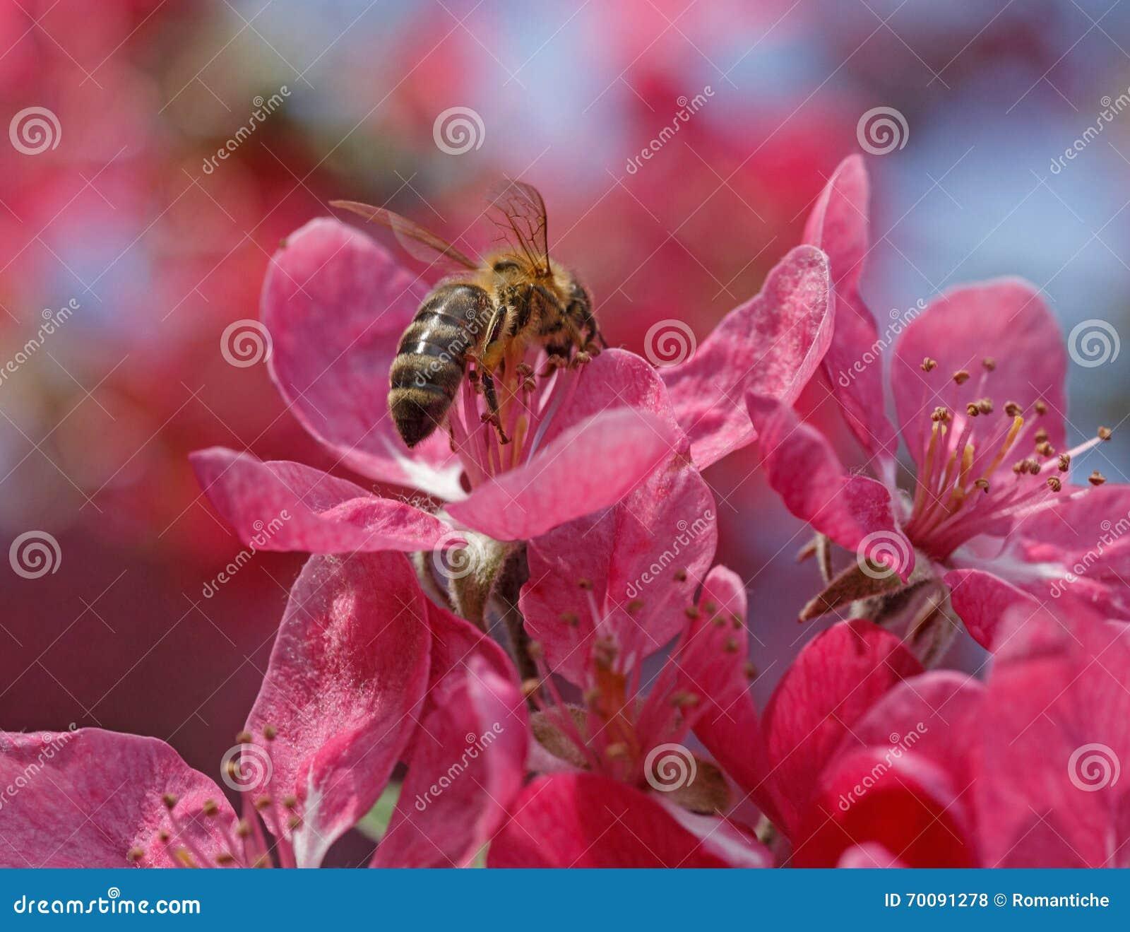 下蛋在苹果树关闭的蜂.蜜蜂不开花了图片